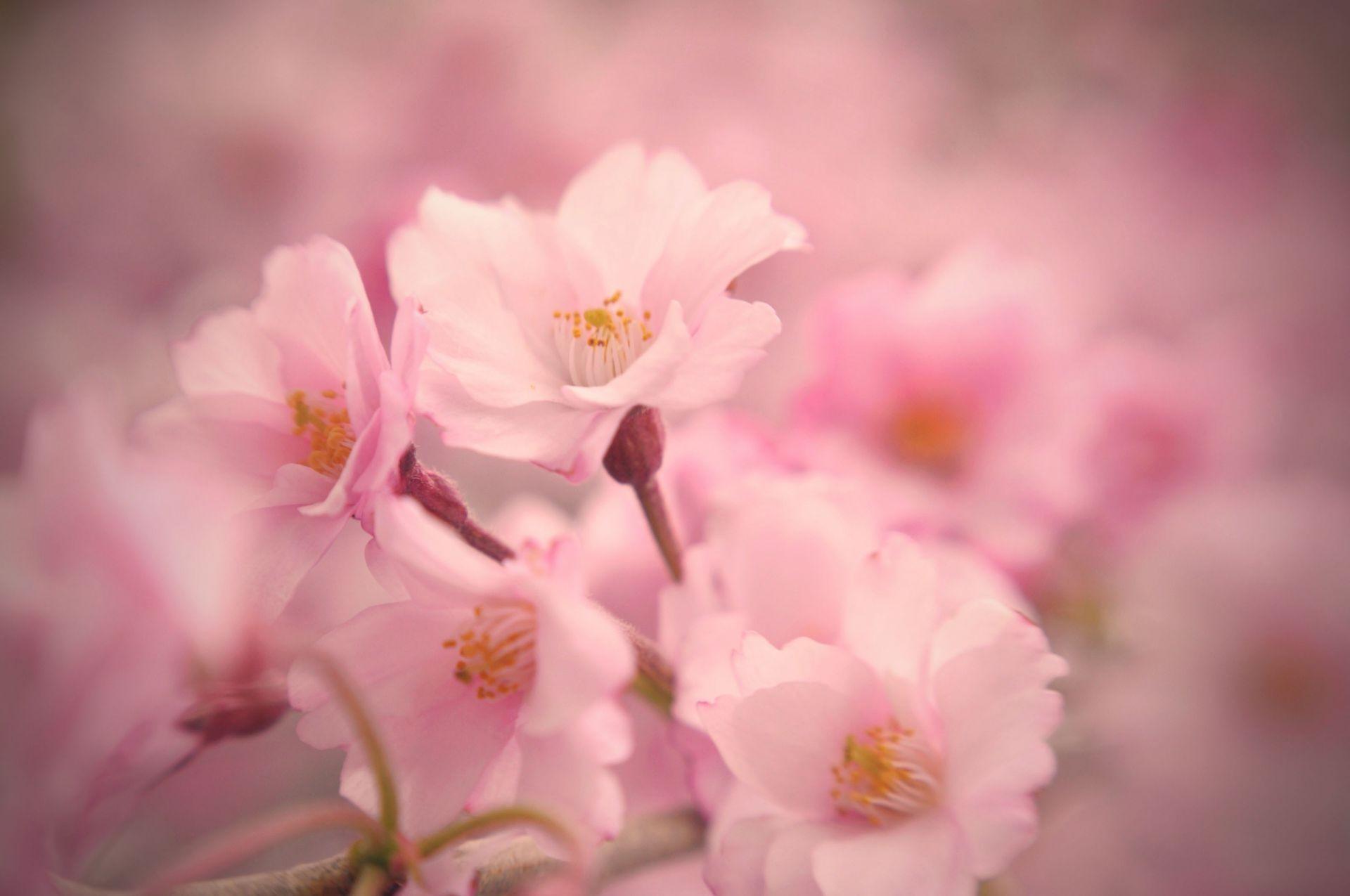 Картинка с нежно розовым цветом
