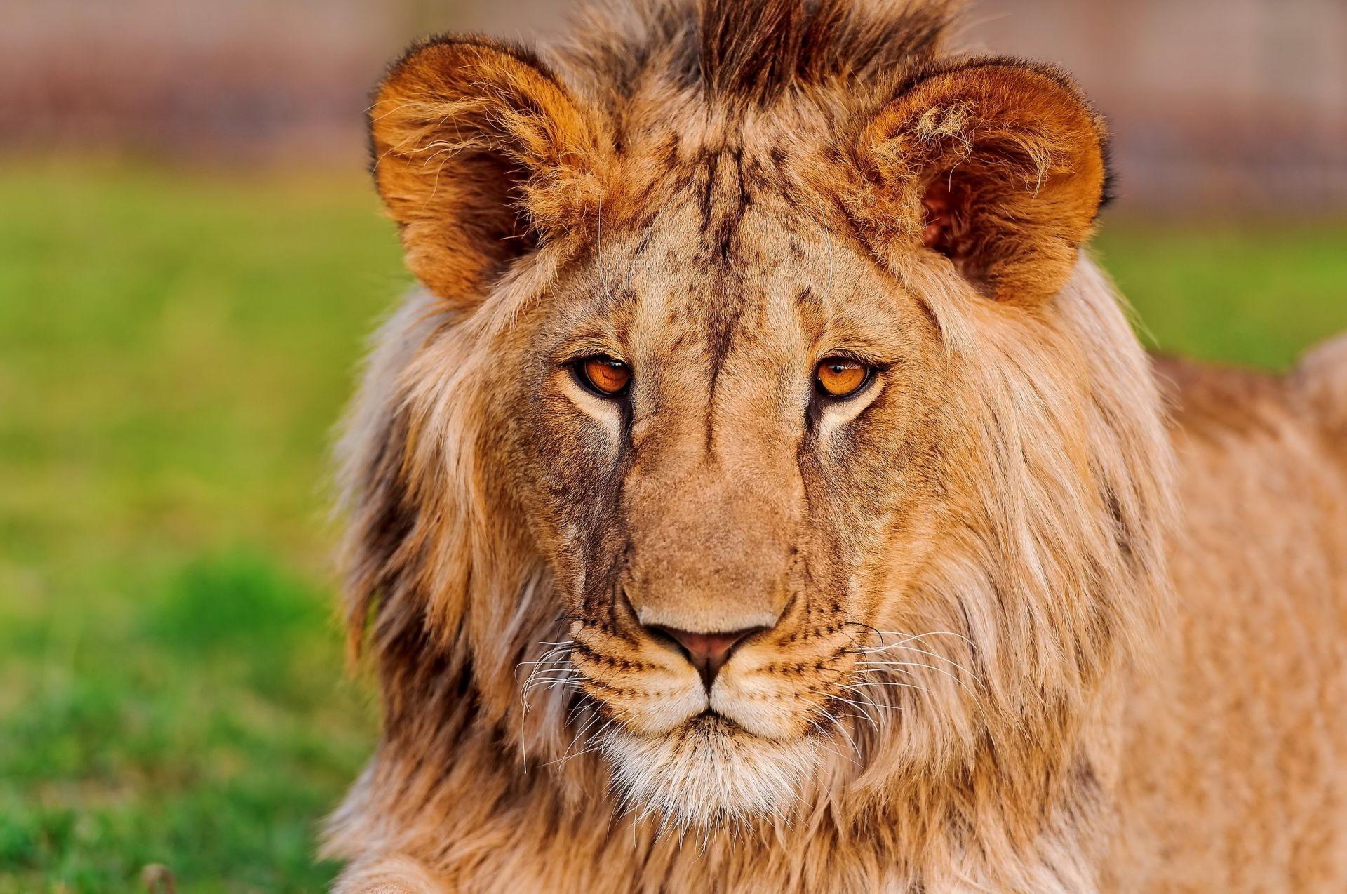 фото статус лев