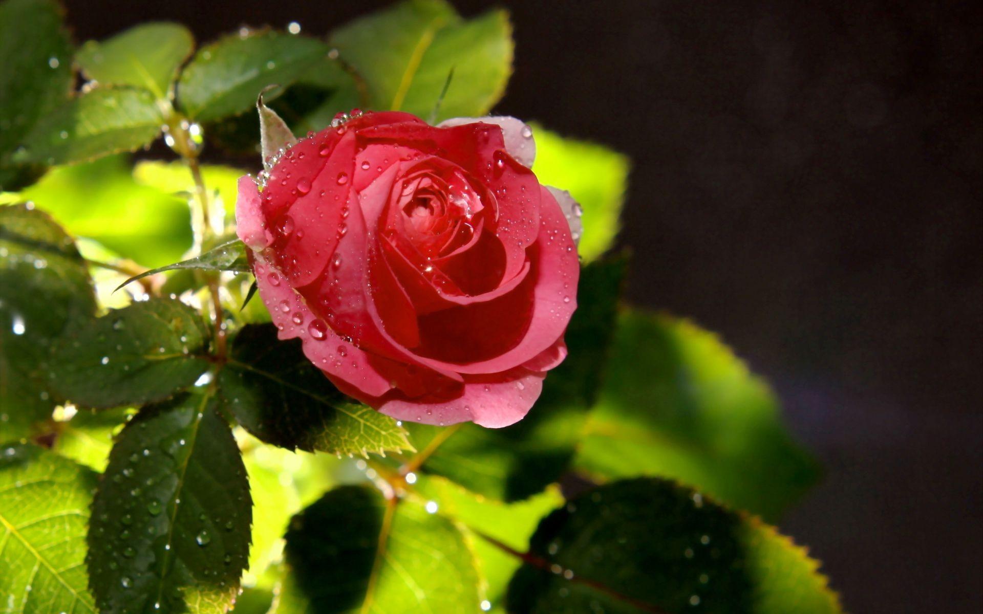 Обои капли, цветы, розовый цветок, цветы. Цветы foto 16