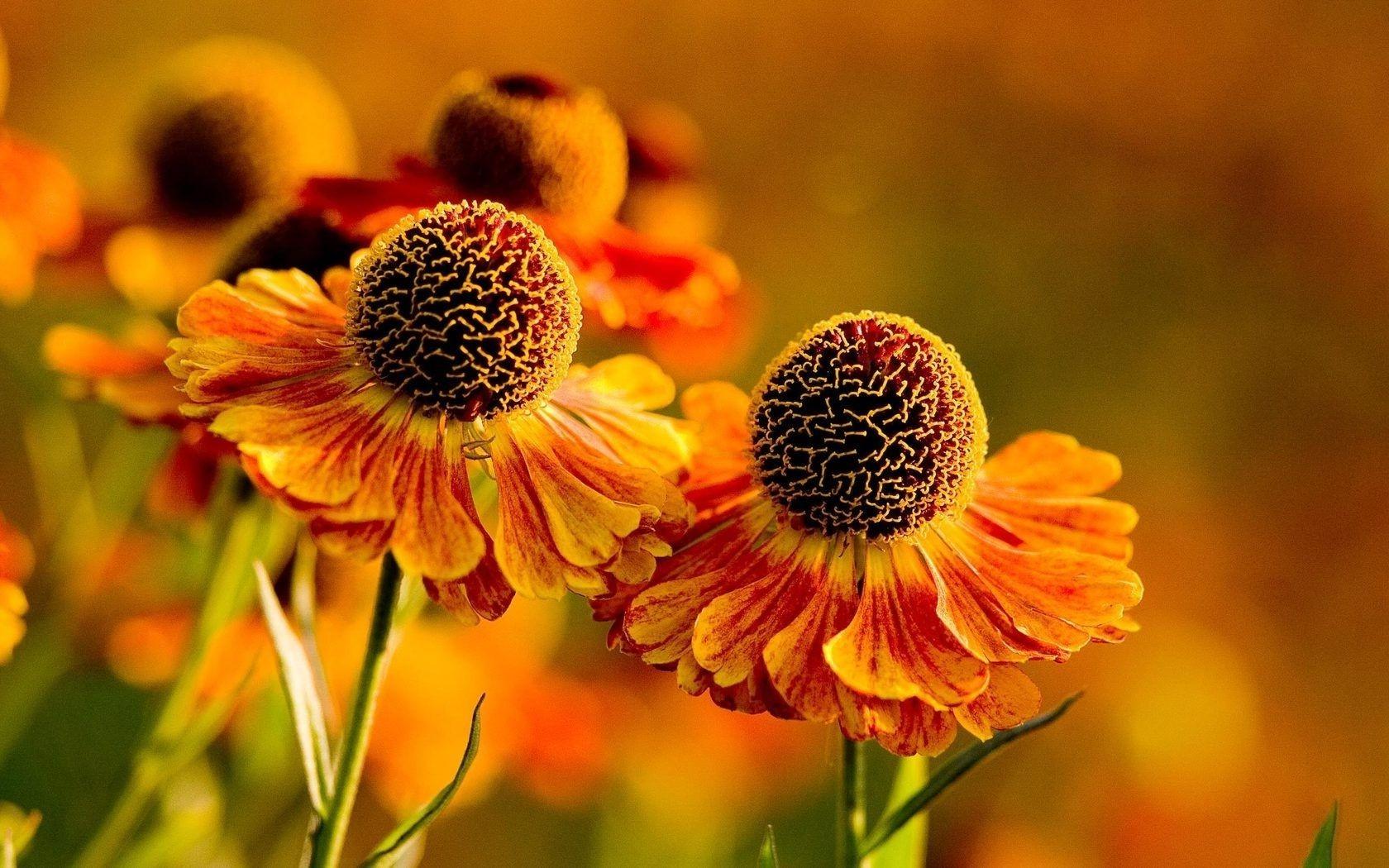 Цветы оранжевые похожие на ромашку фото