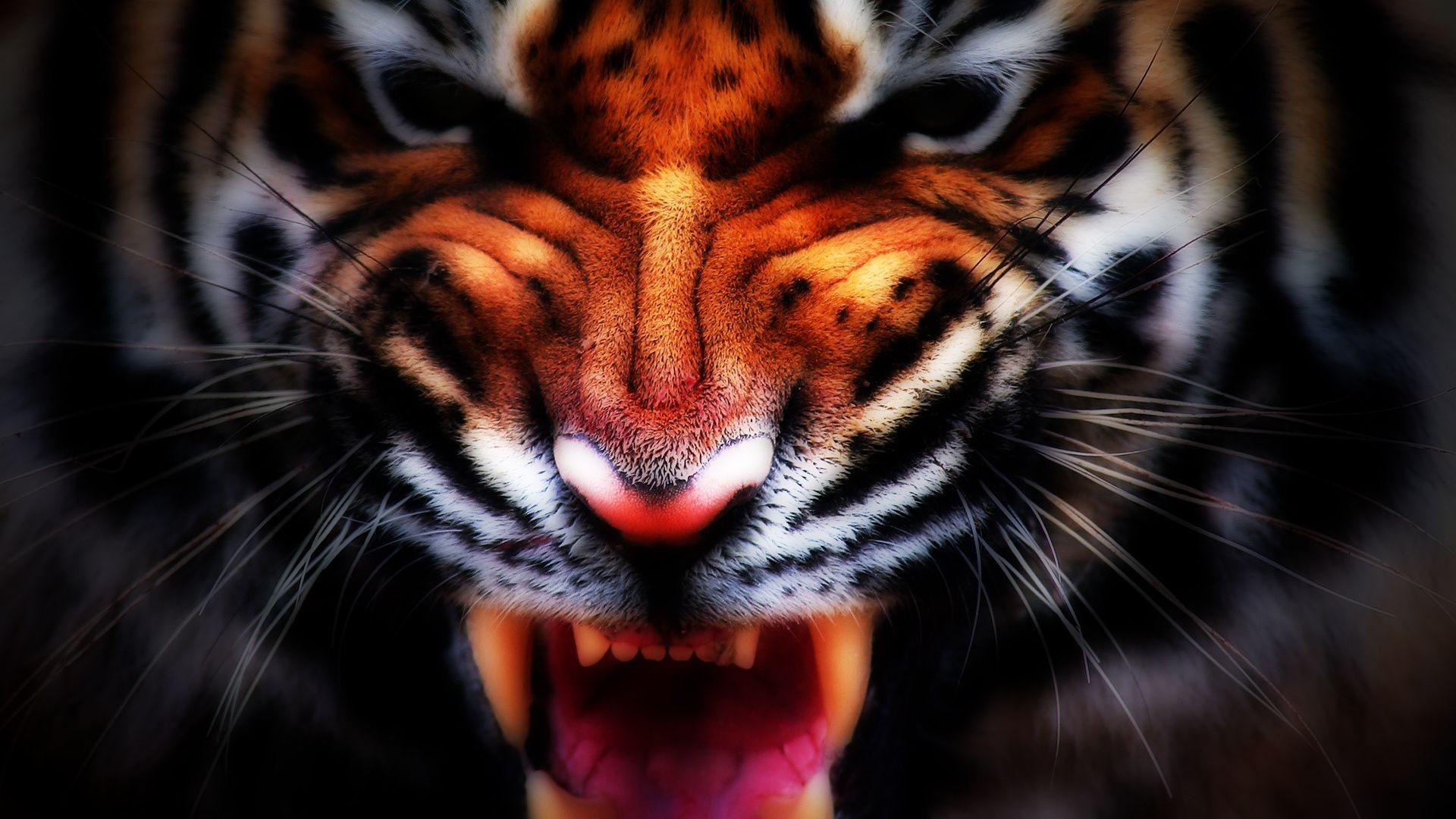 Скачать оскал тигра бесплатно