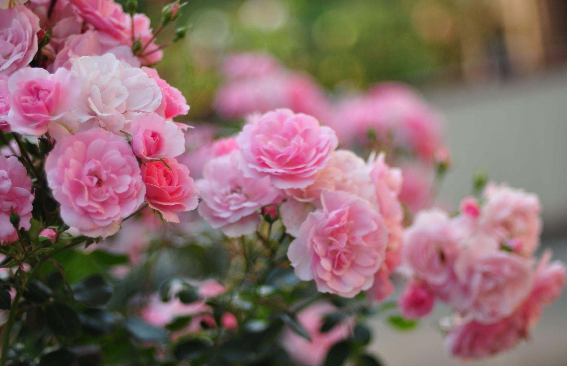 Розовые кусты обои на рабочий стол
