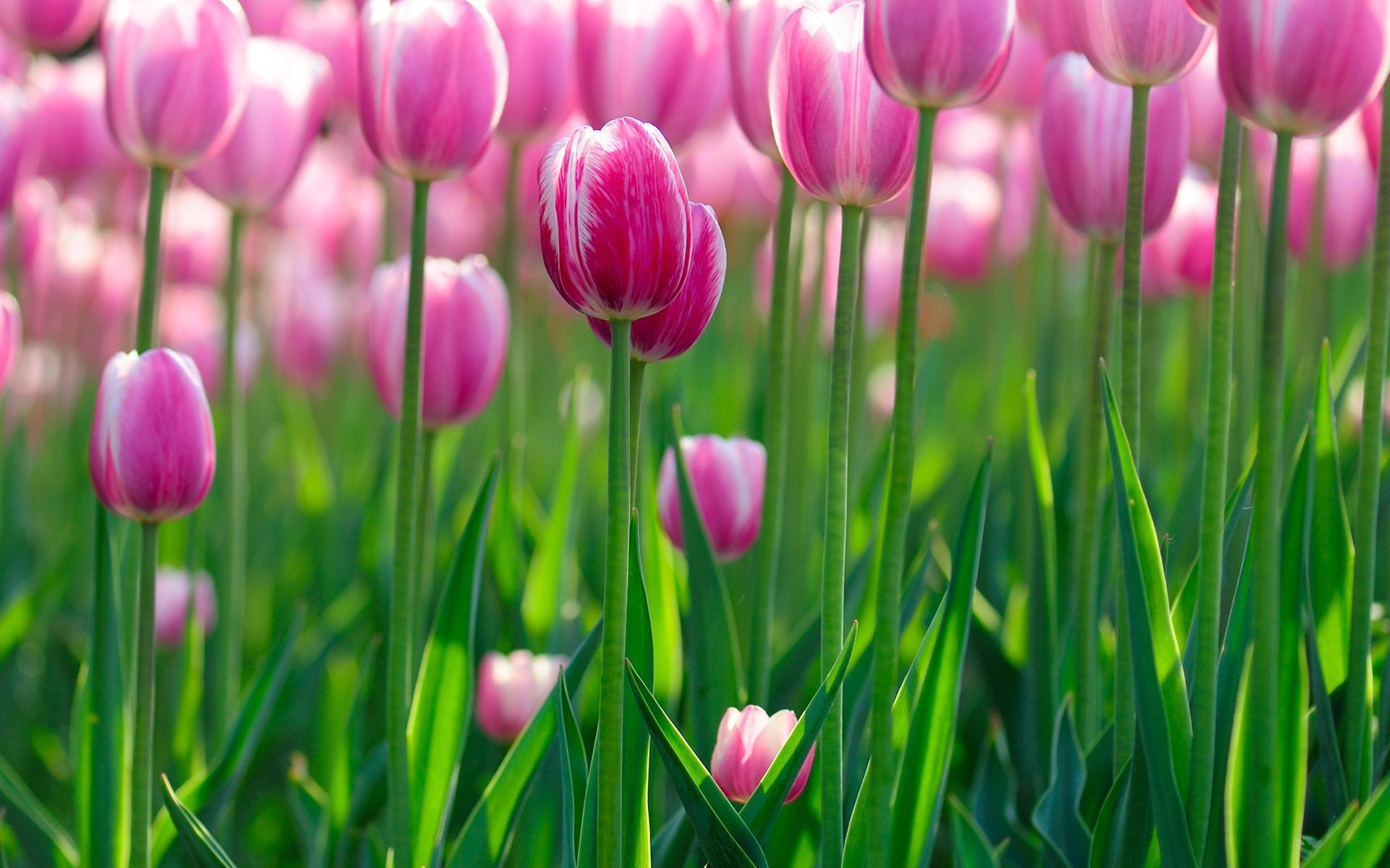 flowers bokeh цветки Tulips wallpapers цветы цветок flo