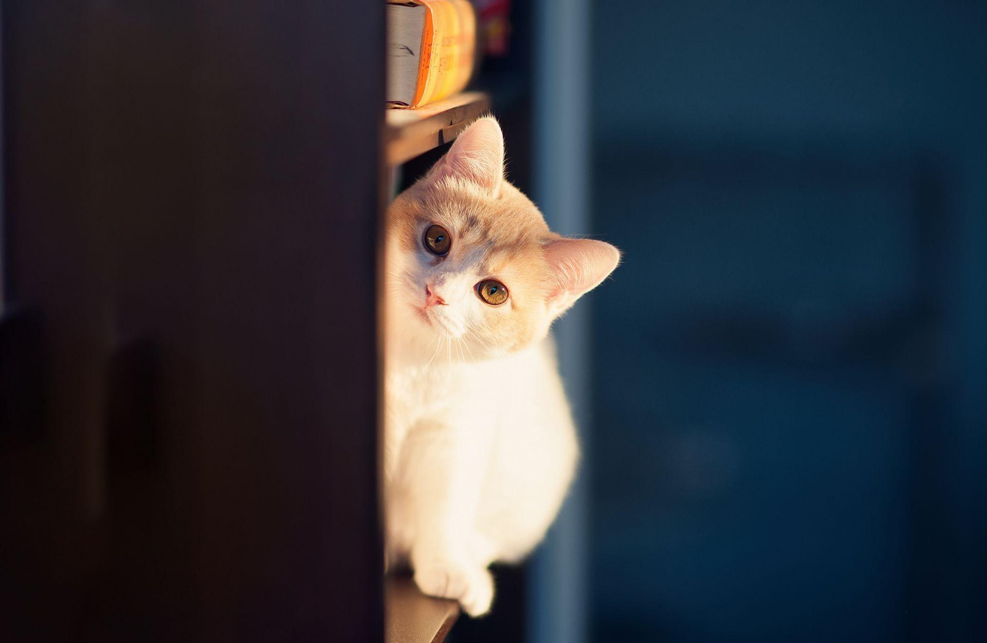 Выглядывающий из-за дивана кот загрузить