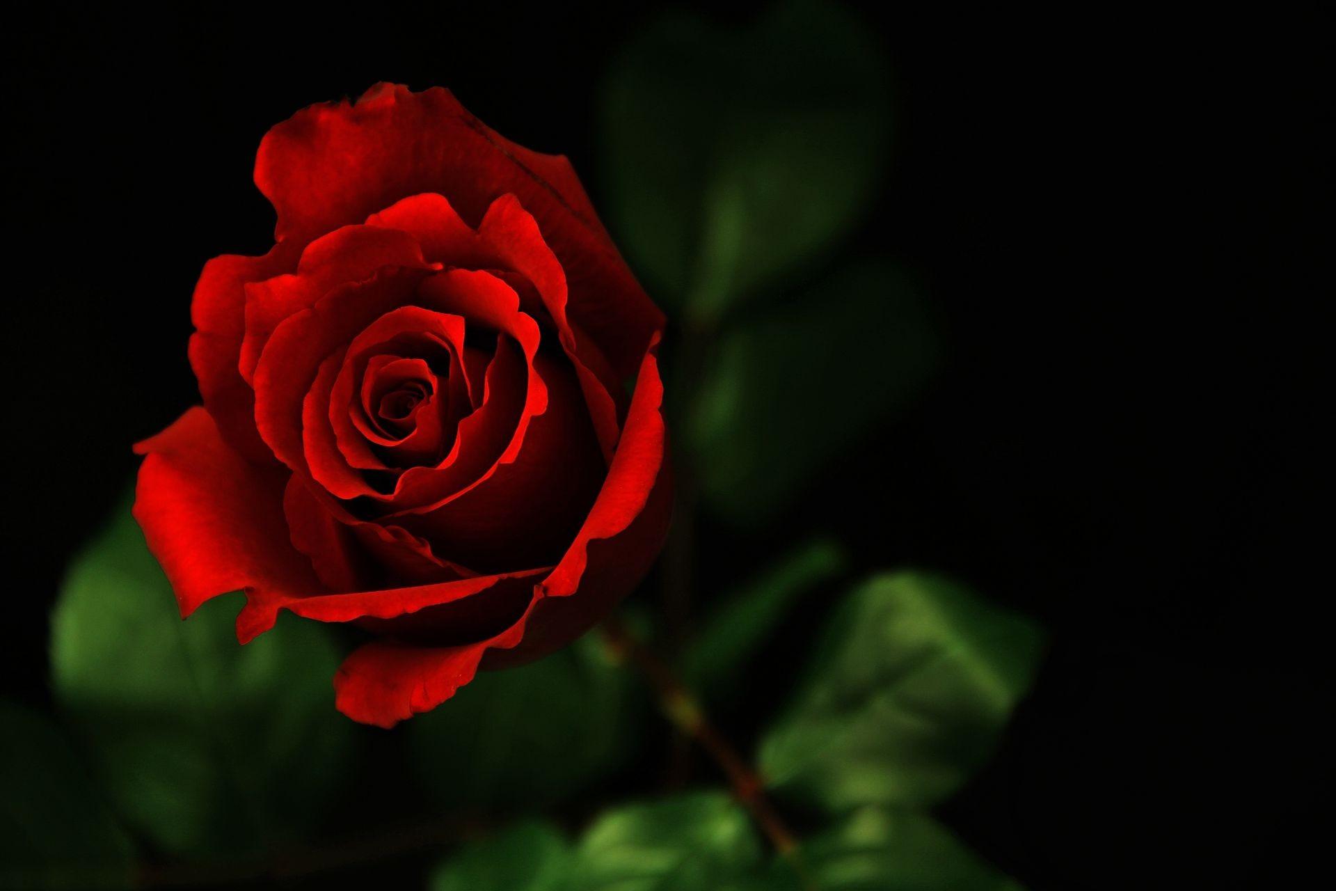 Роза обои на рабочий стол hd