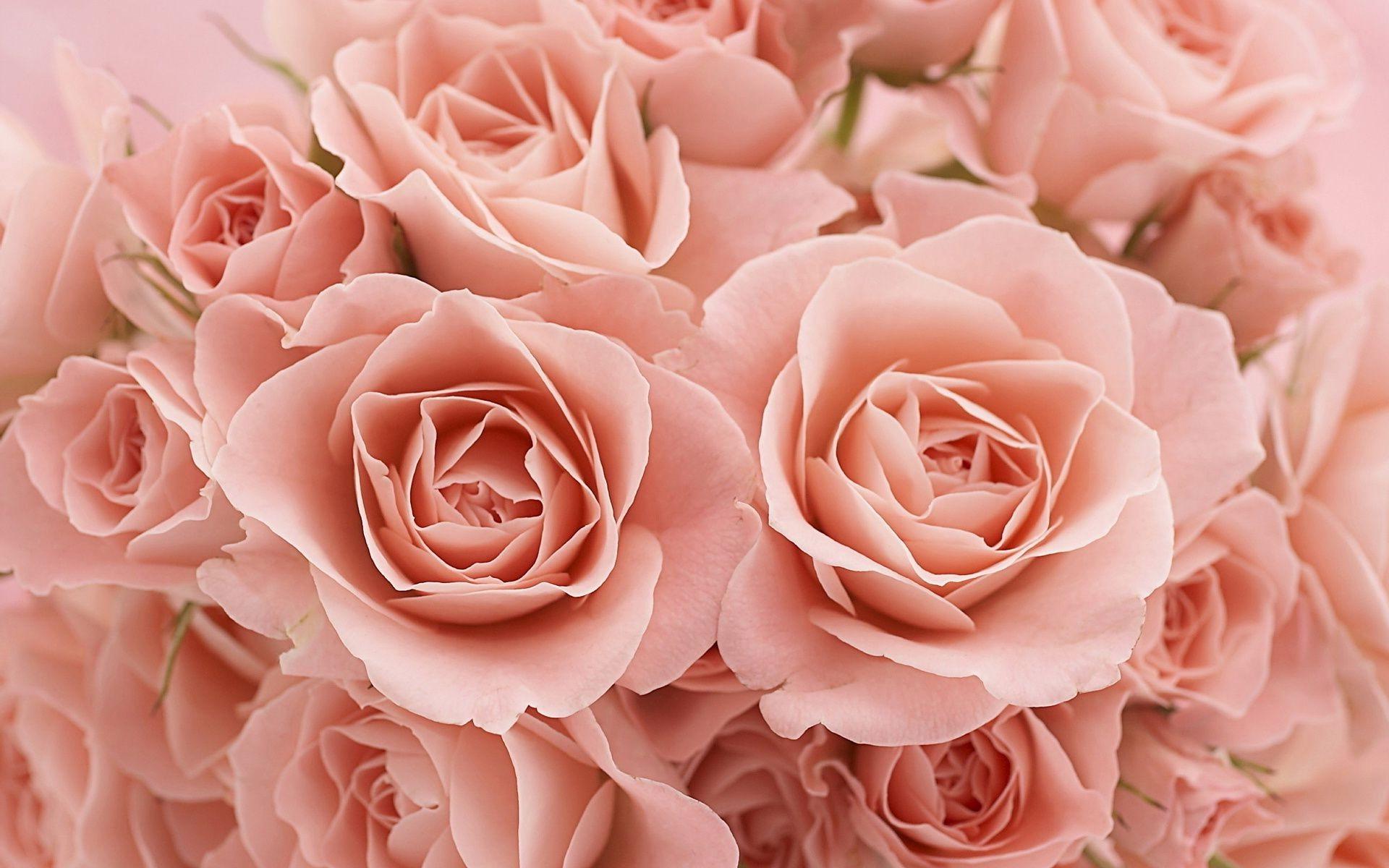 картинка на рабочий стол розы нежные розы начале