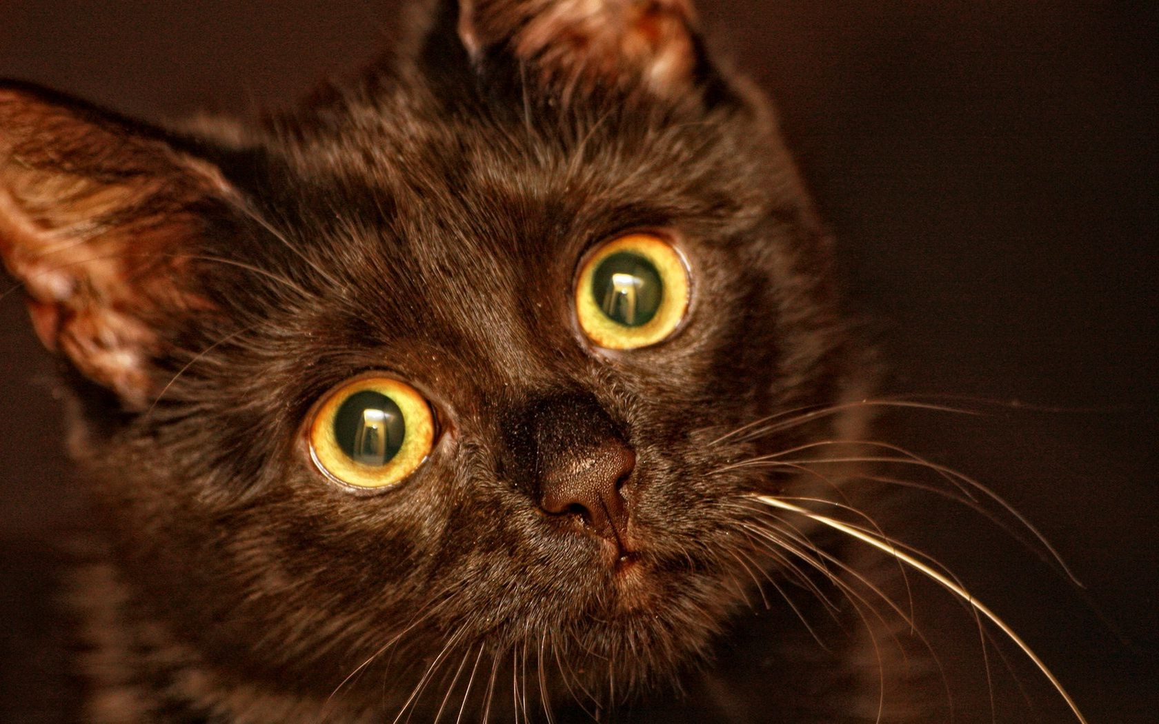 картинки на рабочий стол кошки черные злая это касается