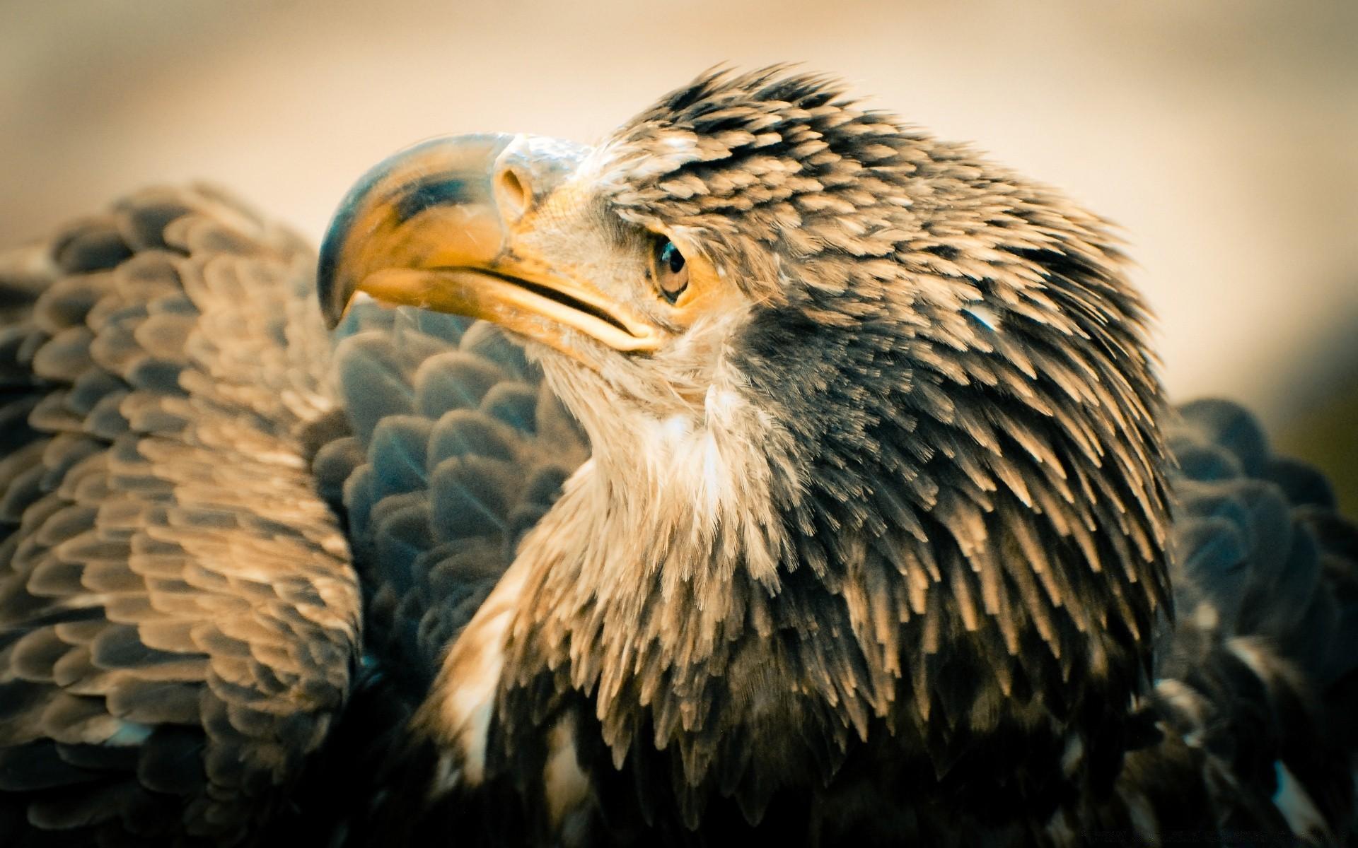 Белоголовый орлан обои для рабочего стола