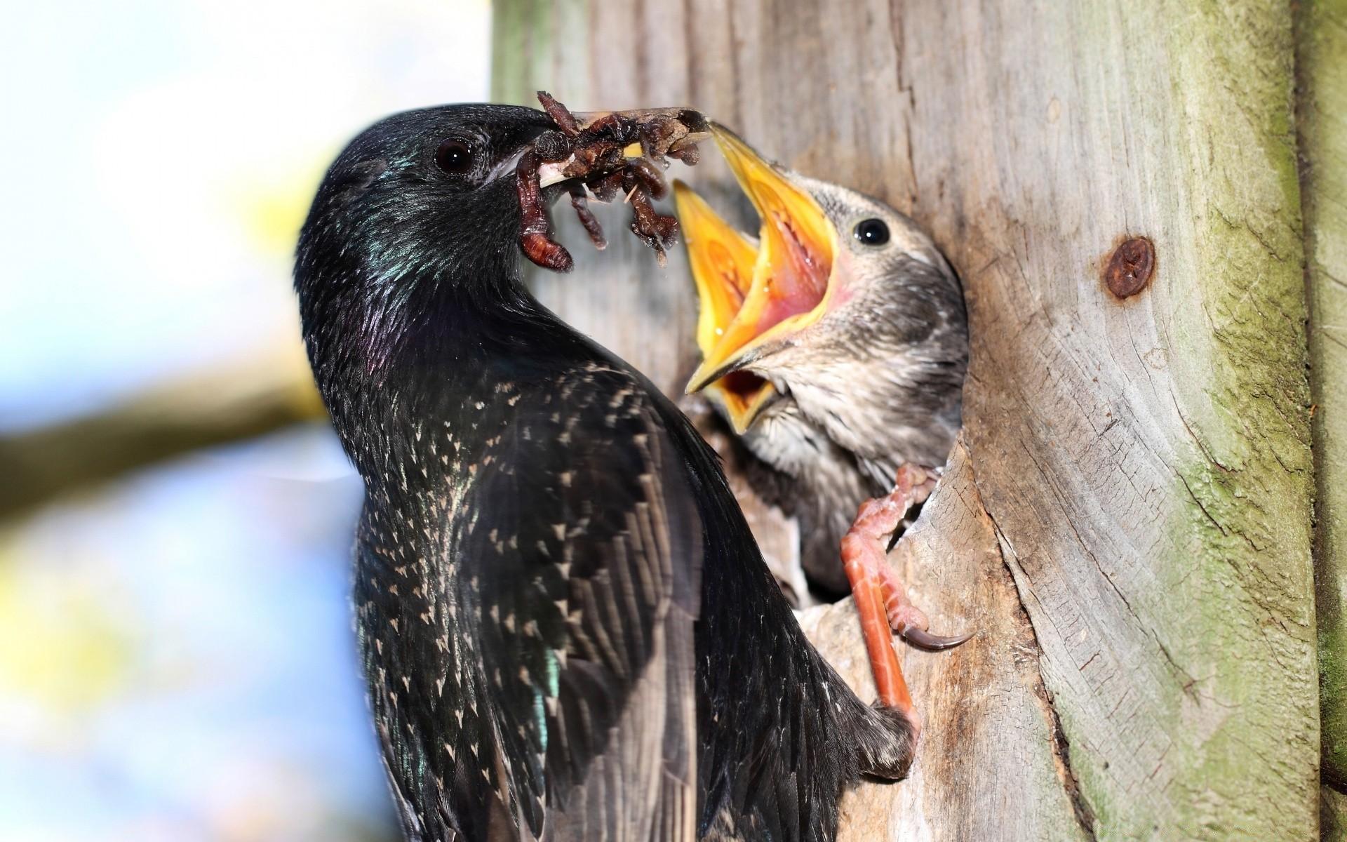 тарбаев картинки скворец и птенцы запросу утка