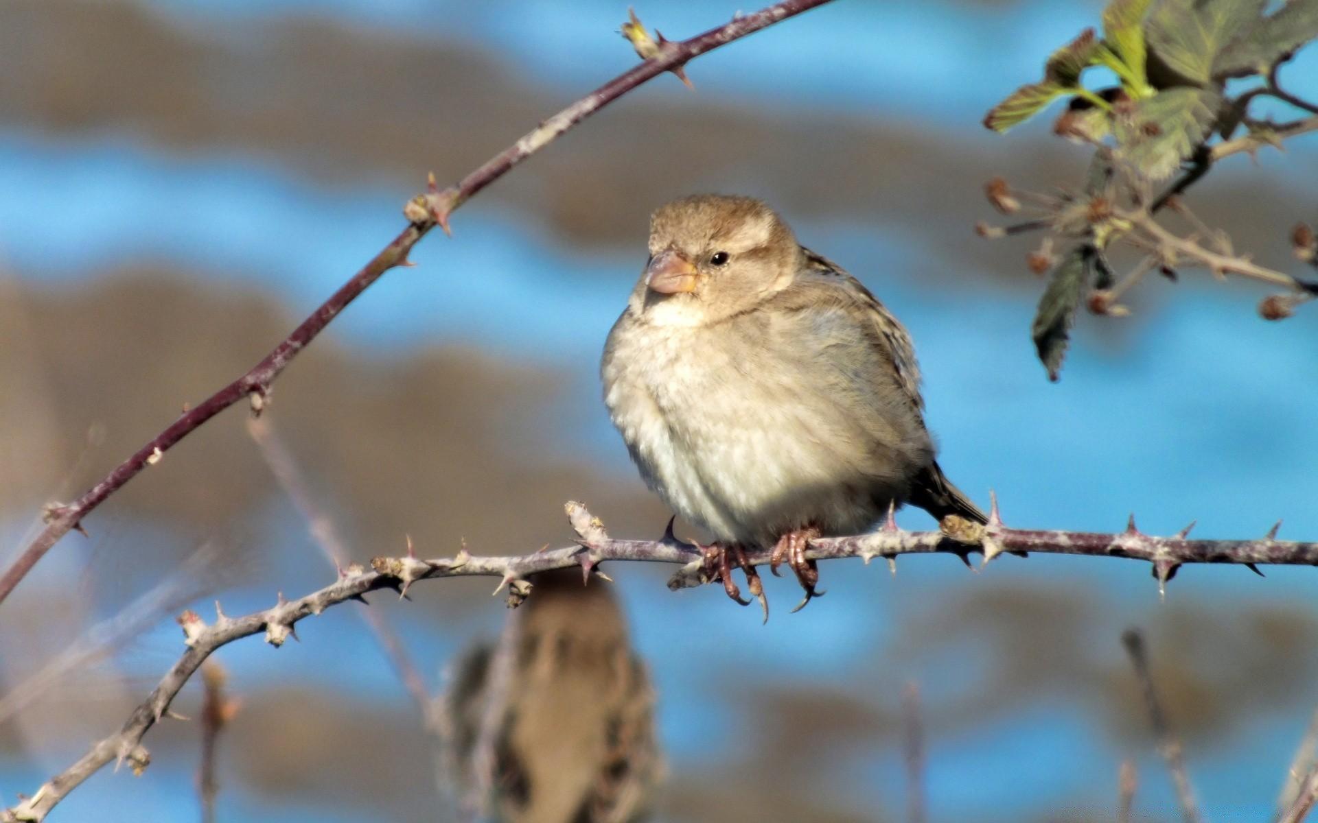 Cute sparrows wallpaper