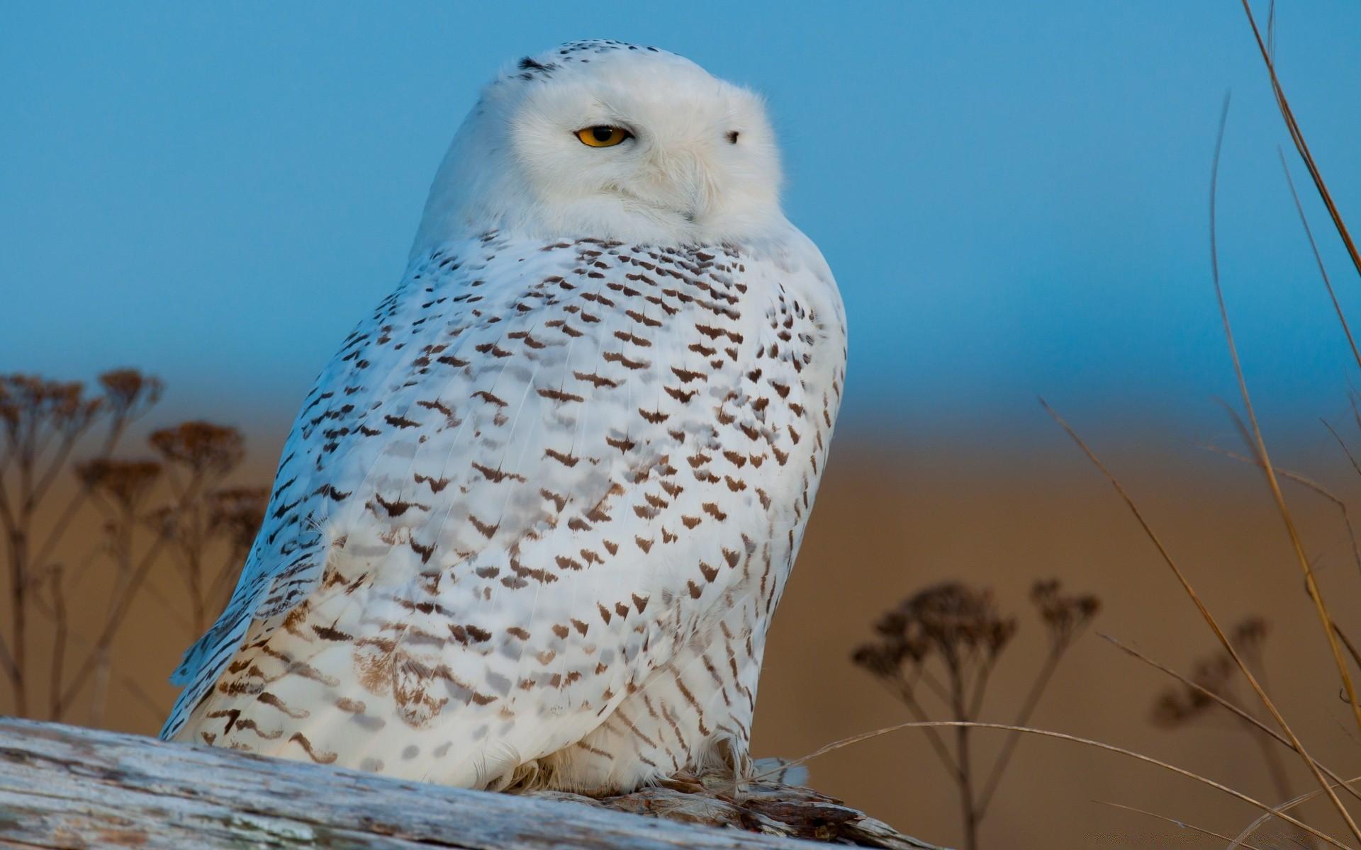 северная сова фото представлены фотографии