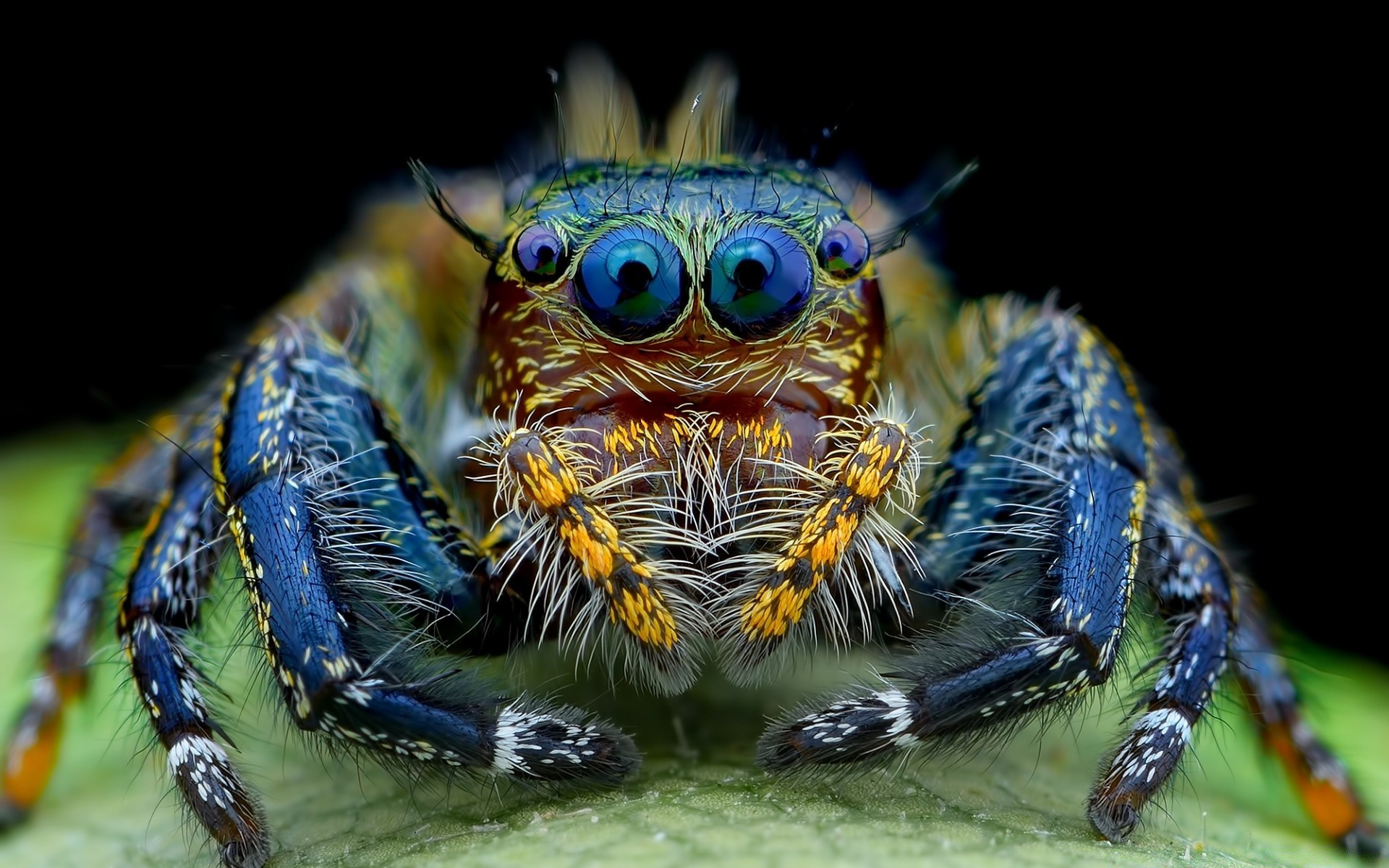 Обои насекомое, паук, лист. Макро foto 12