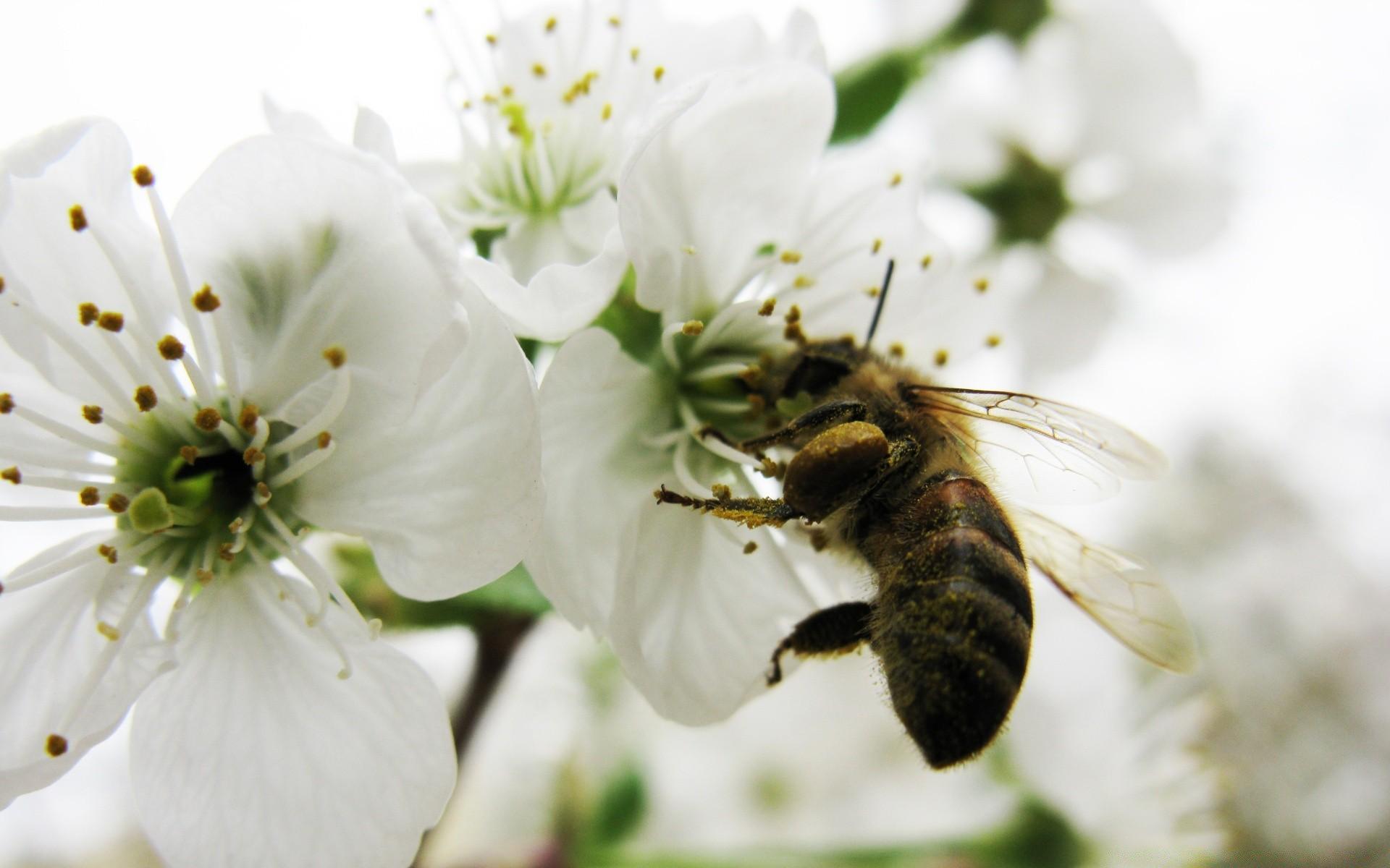 дневные картинка пчела на цветке яблони самого