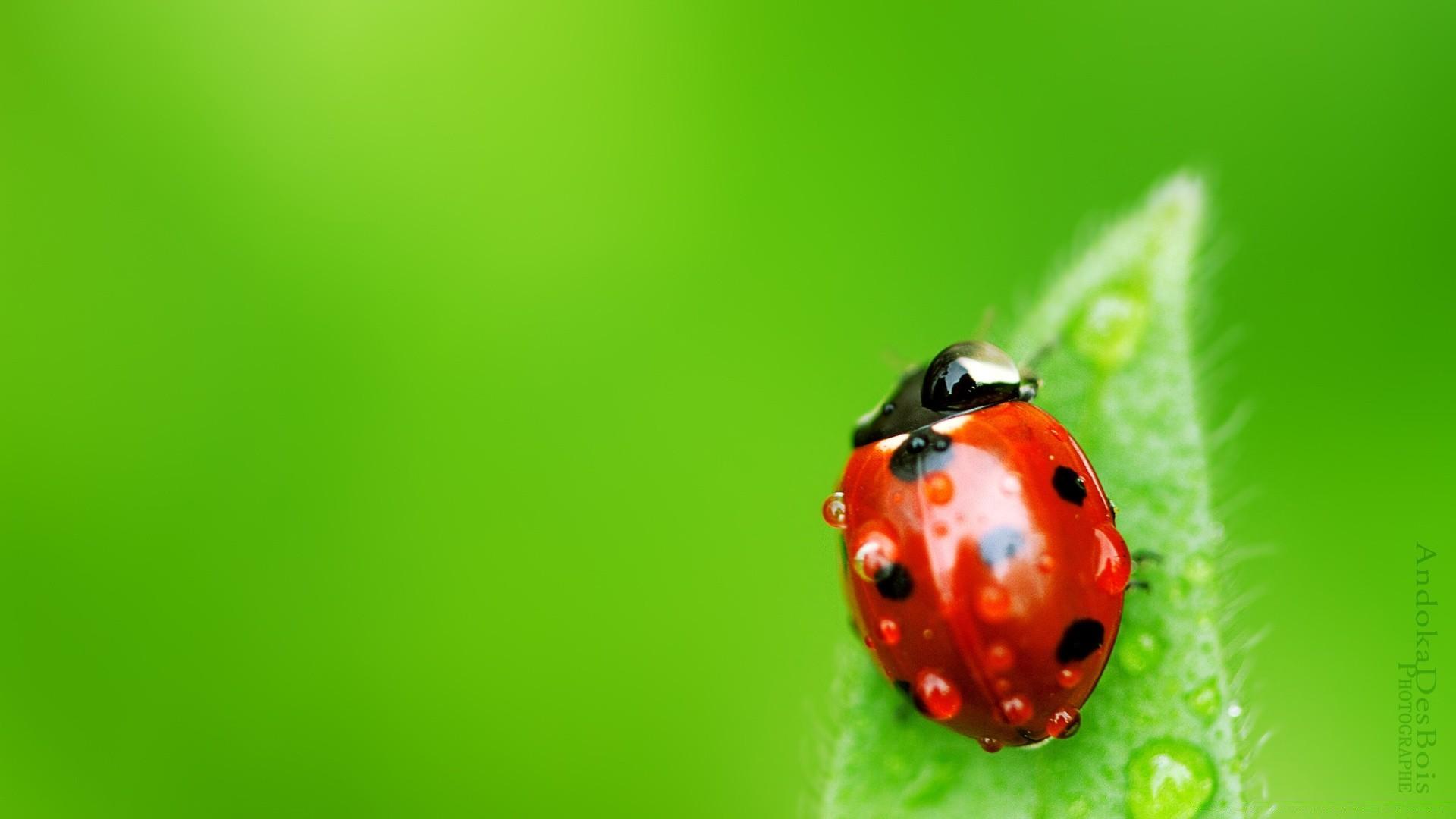 природа насекомое божья коровка цветок  № 3008139  скачать