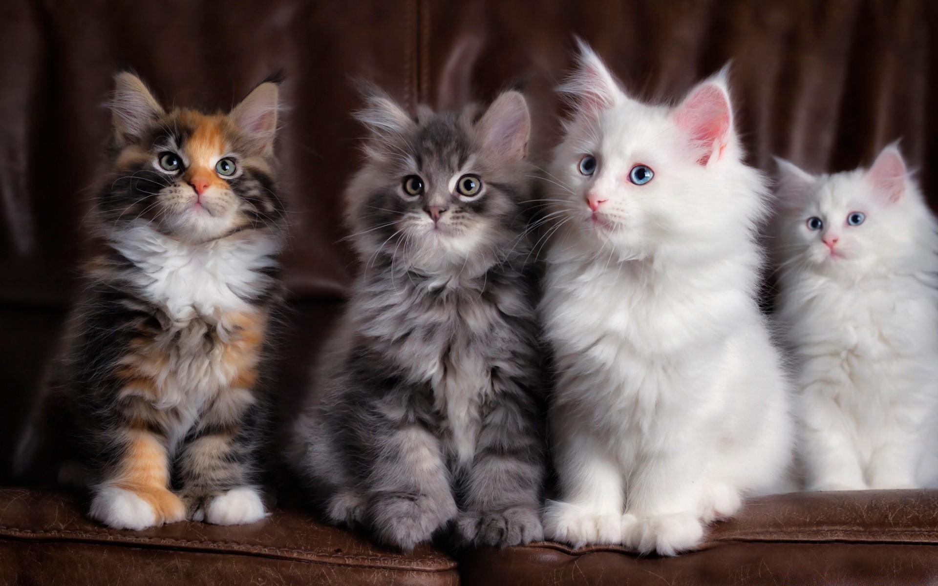 Картинки на рабочий стол с породистыми кошками