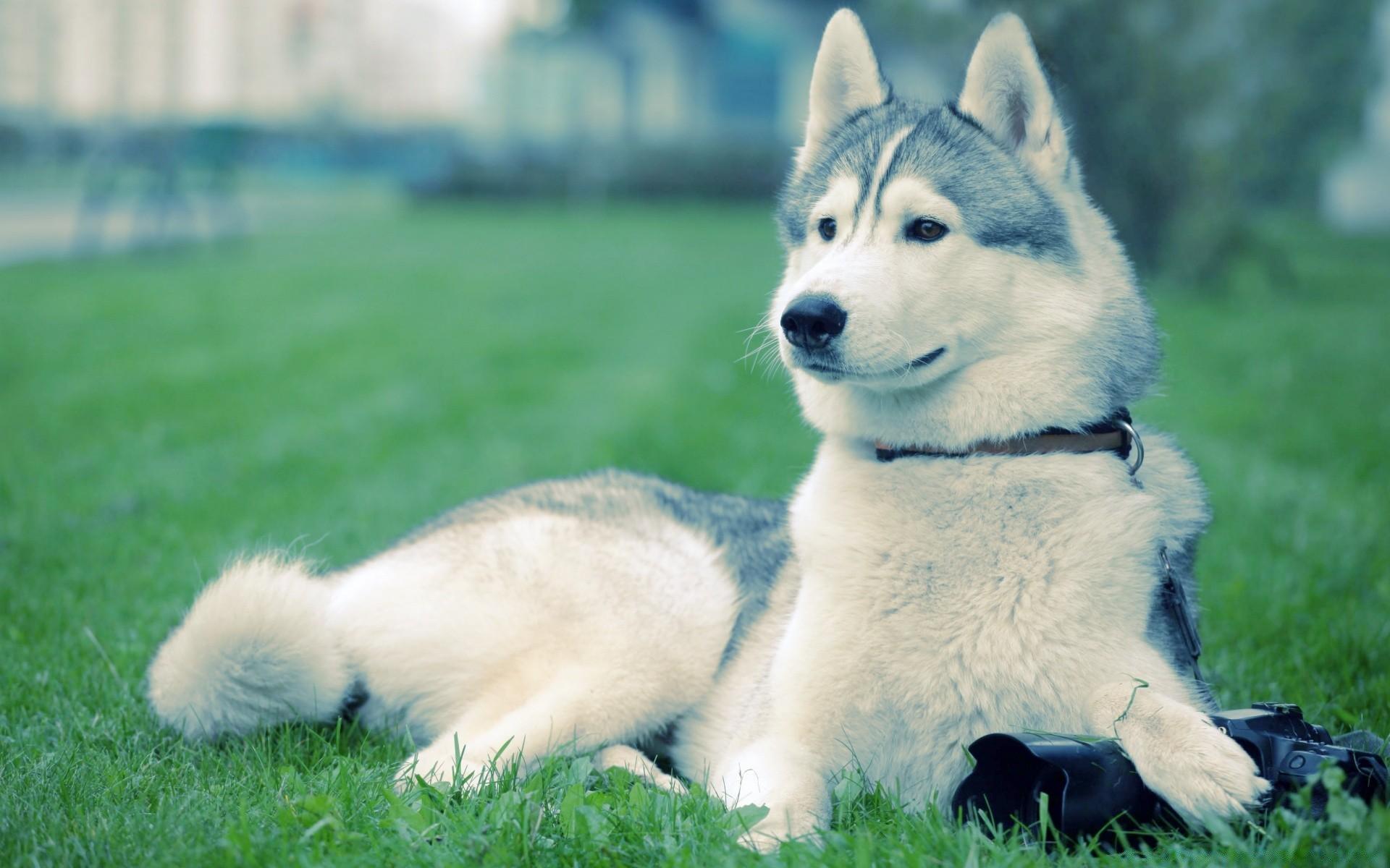 характер породы собаки ямтхунд