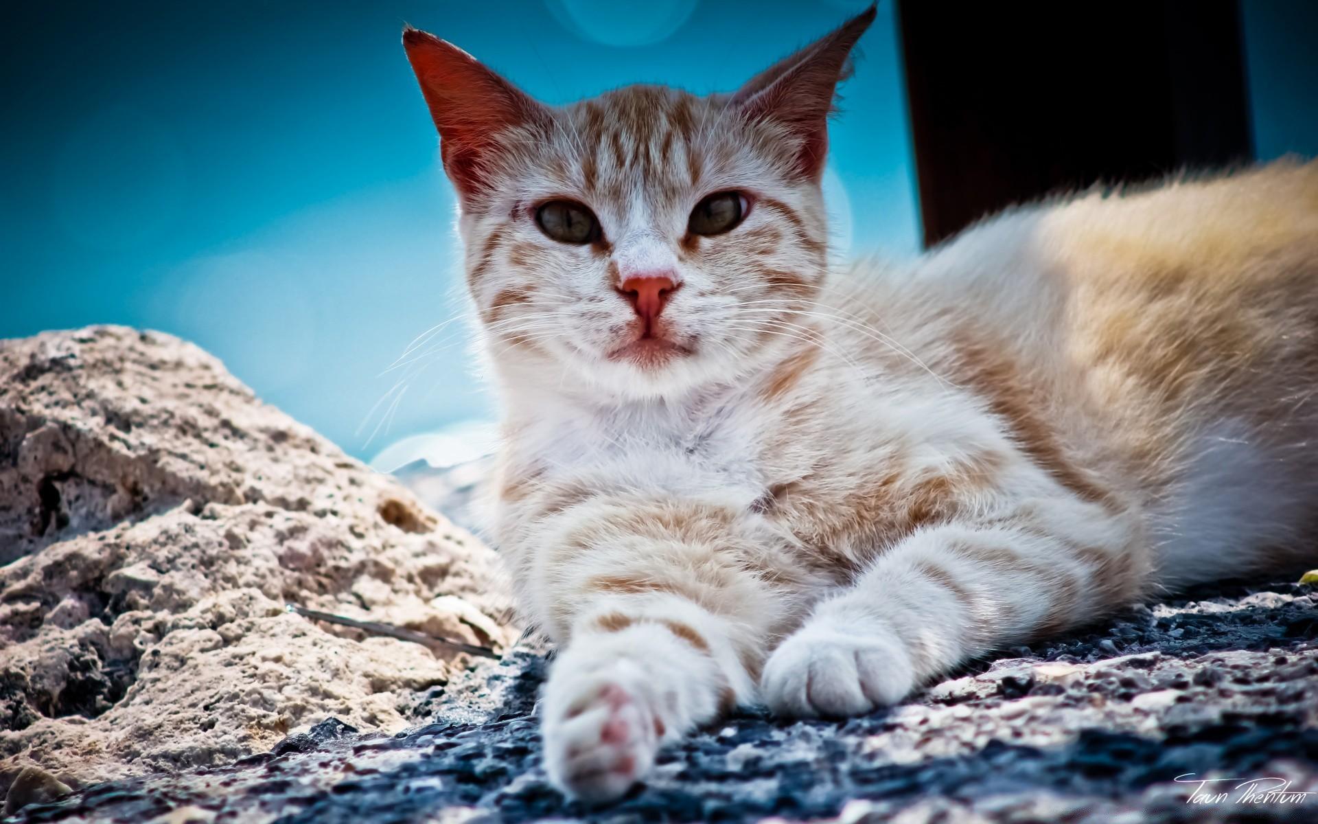 зов красивые коты на обои следить