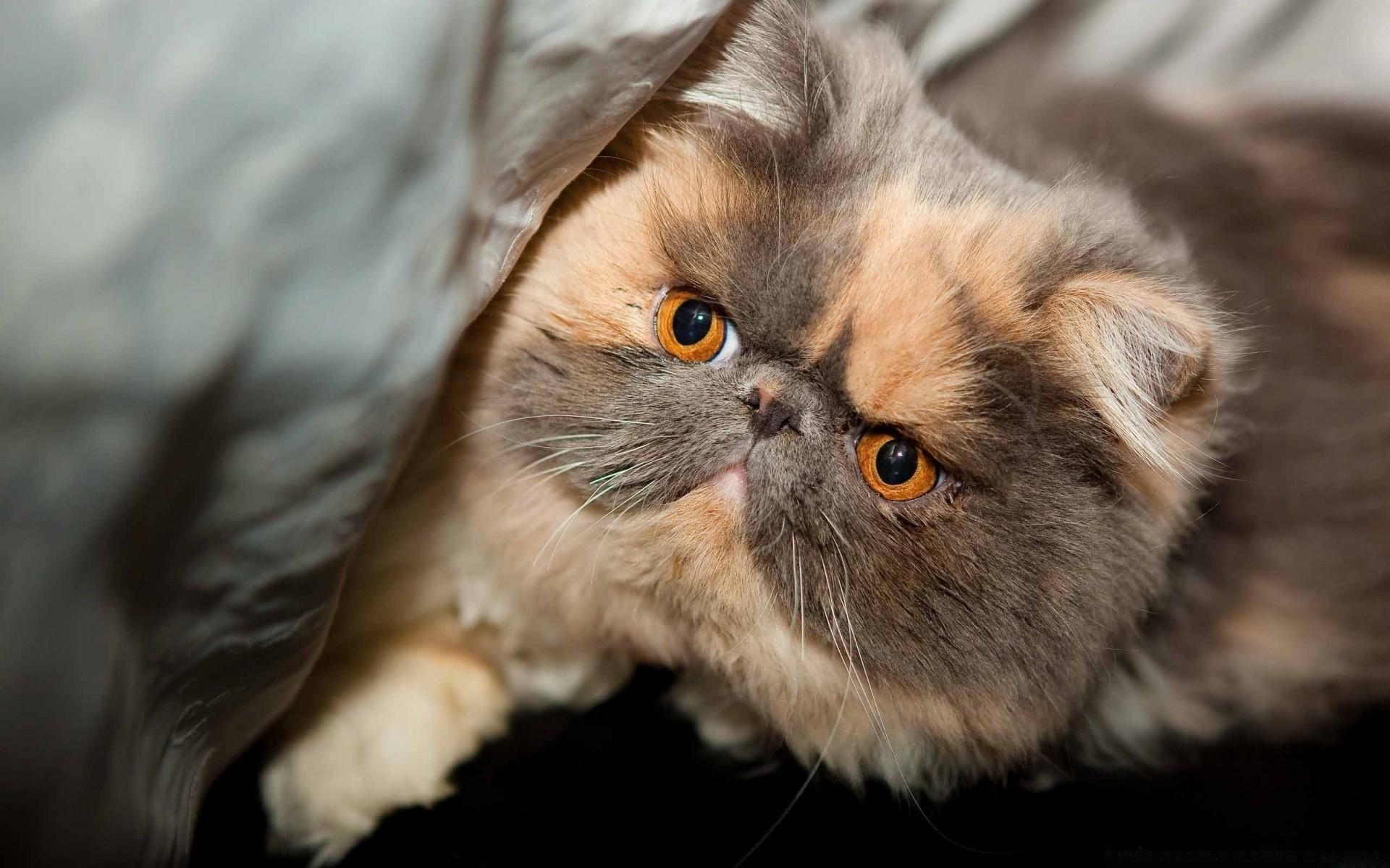 обои кошки для рабочего стола персы № 623706 без смс