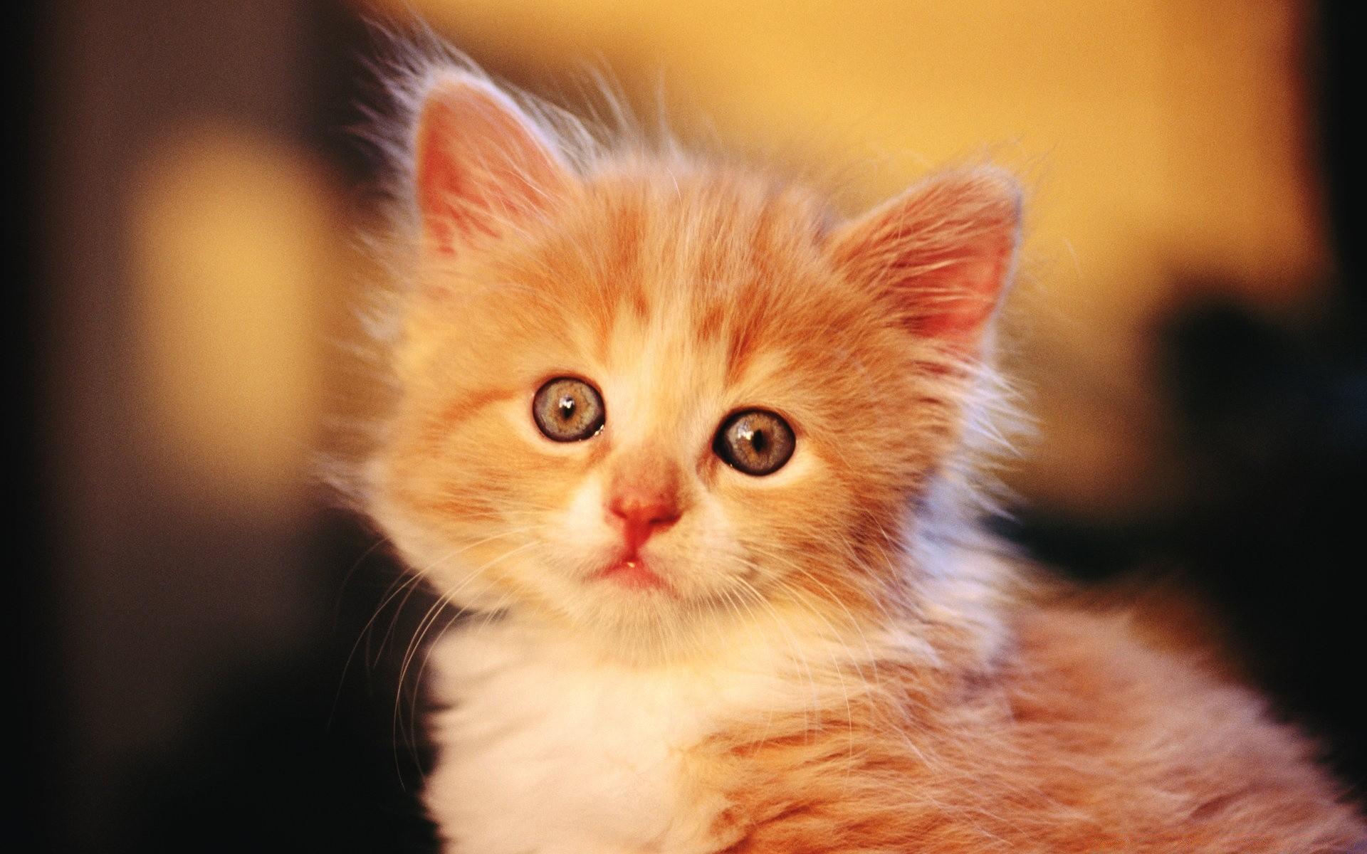 Рыжий грустный кот без смс