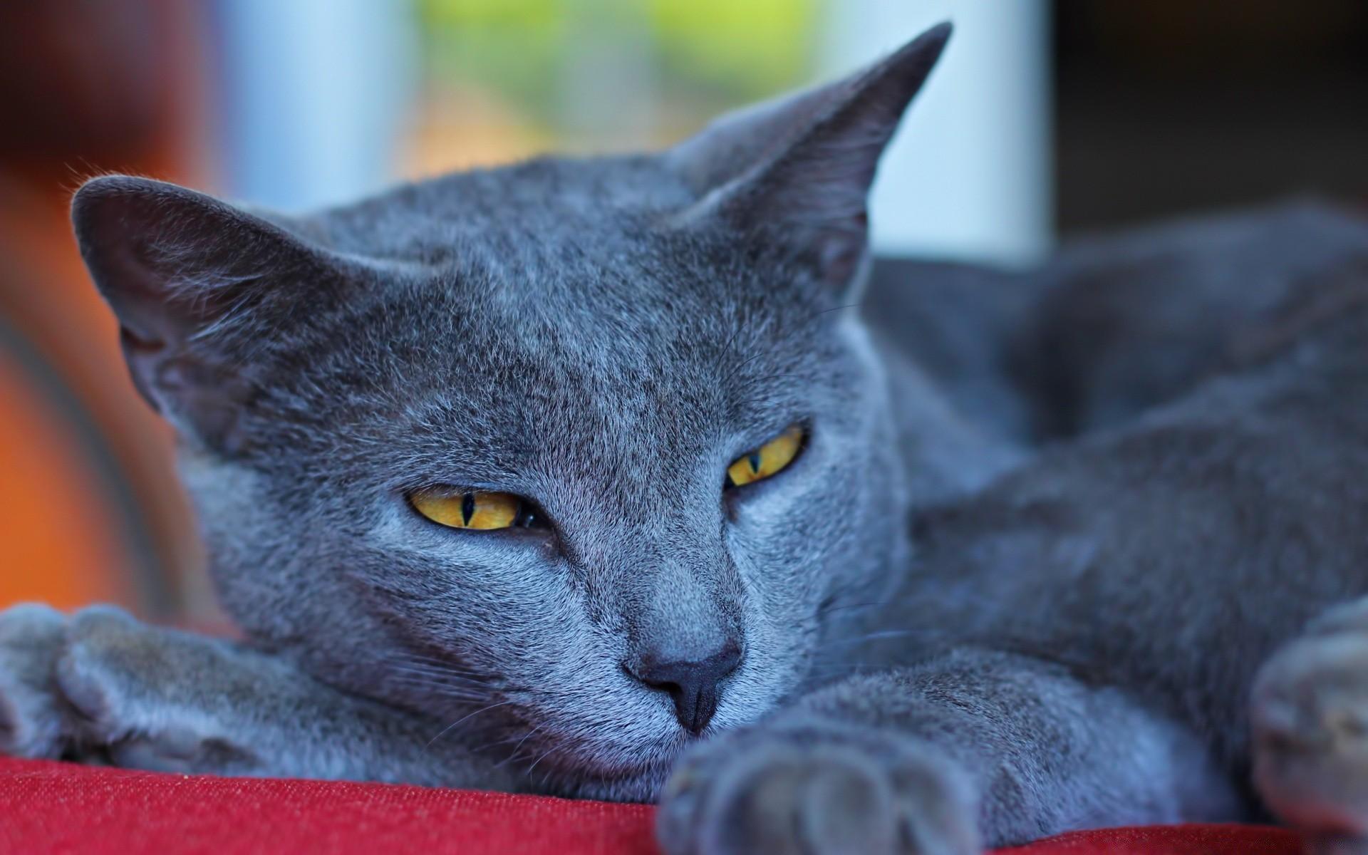 картинки русская голубая кошка на рабочий стол
