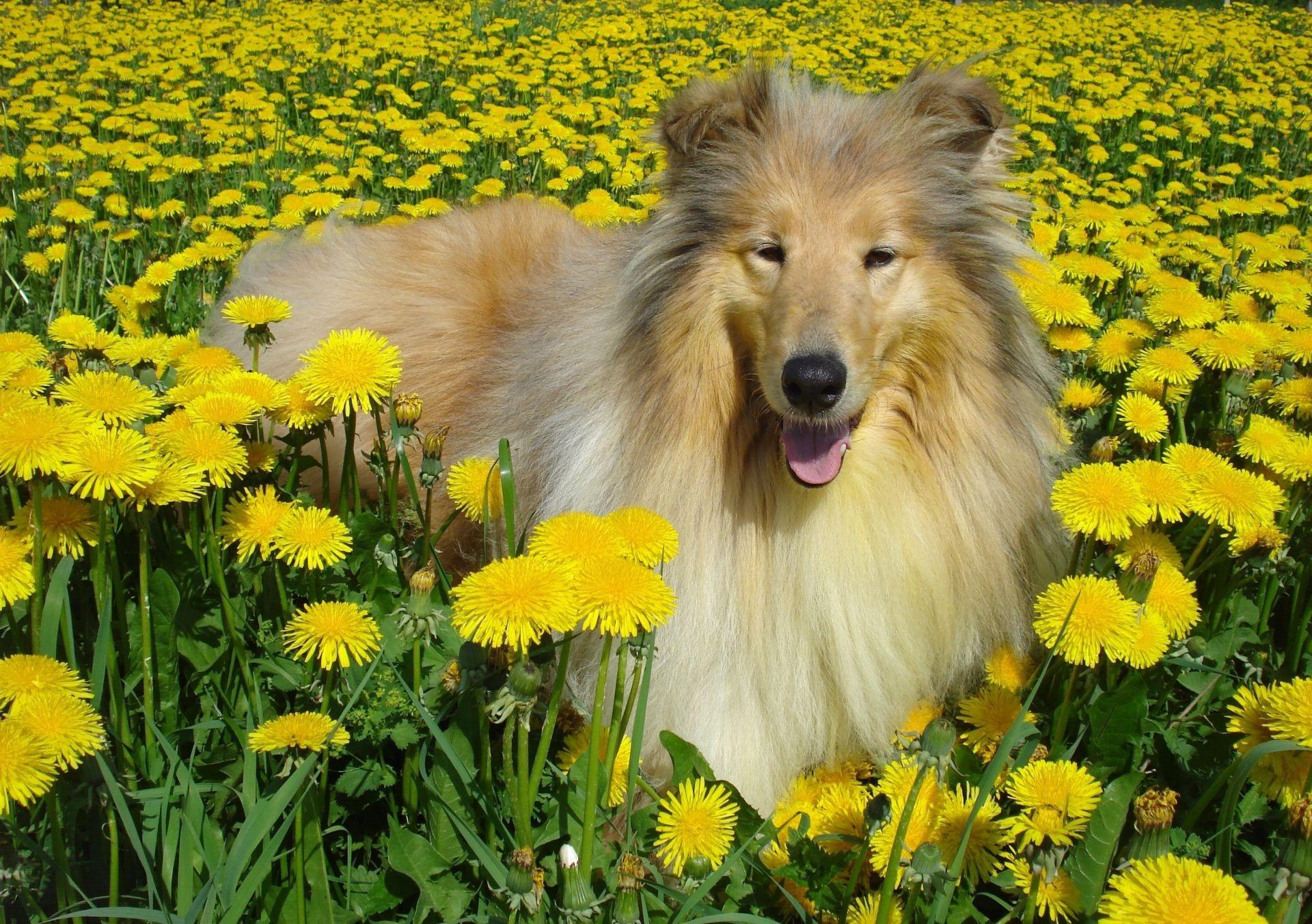 собачка, поле, цветы, экстерьер загрузить