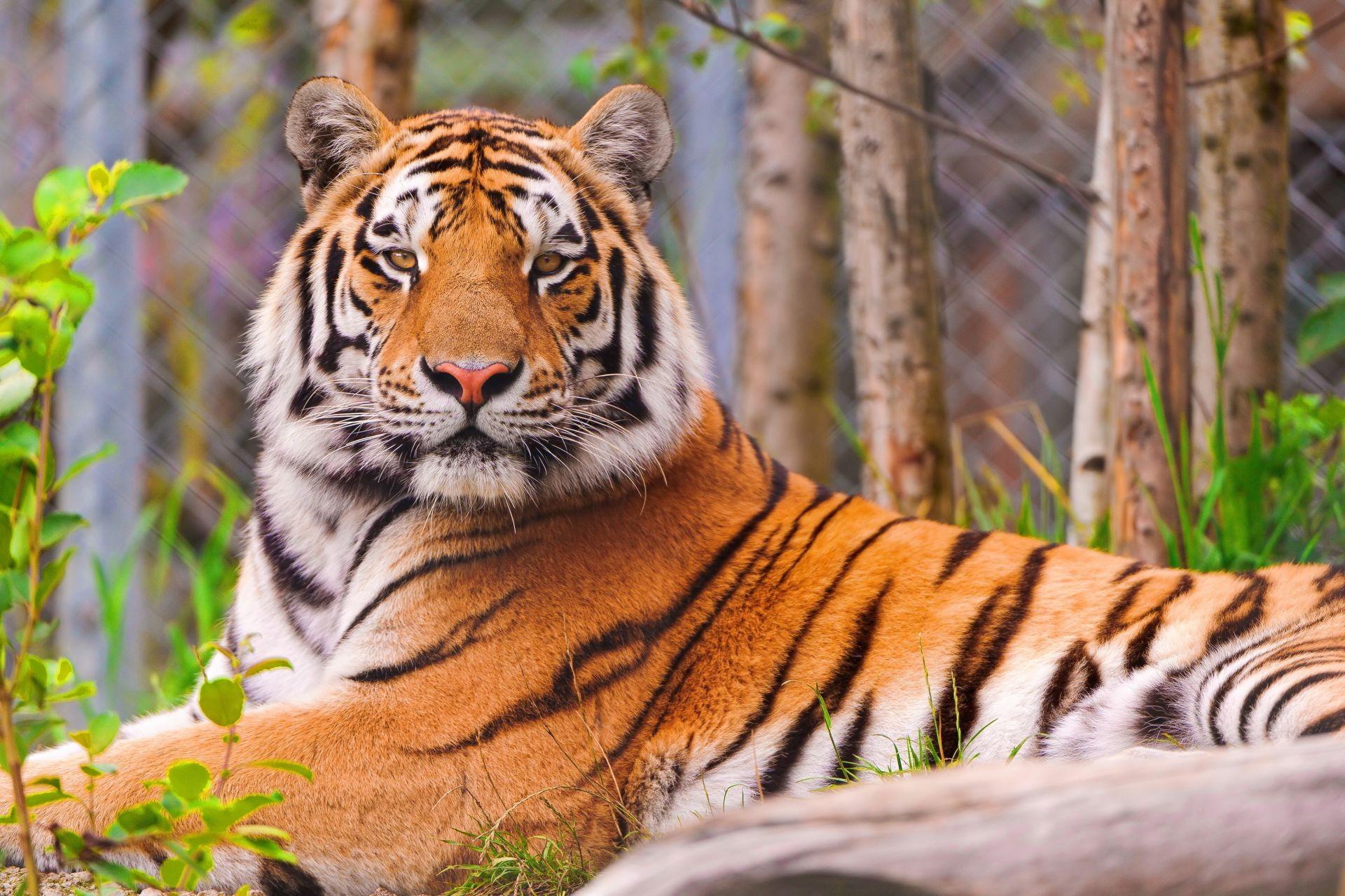 Тигр хвост бесплатно