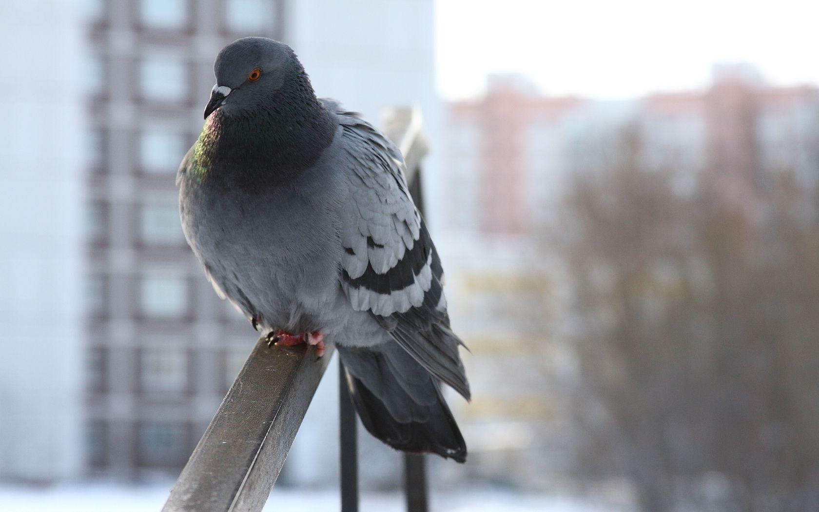 Птицы животные зима сидит голубь