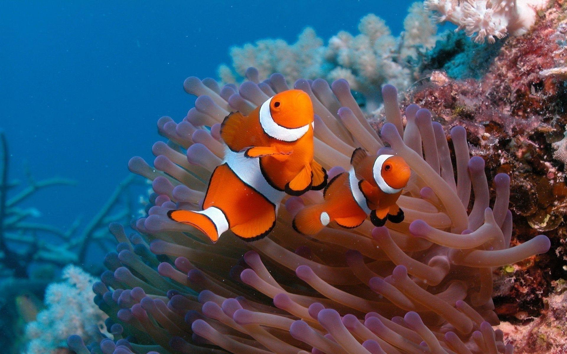 природа рыба клоун актинии без смс