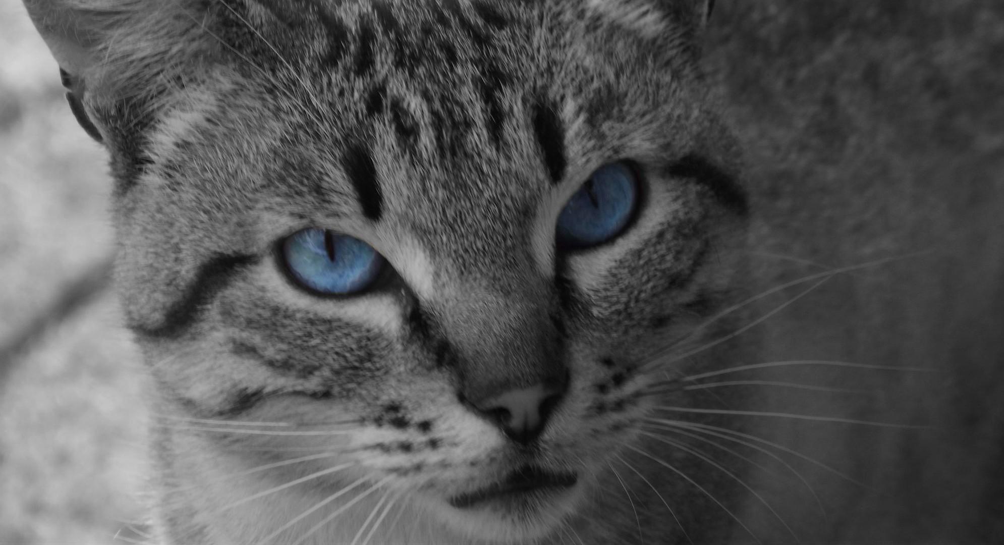 Обои котёнок, голубые глазки, мордочка. Кошки foto 19