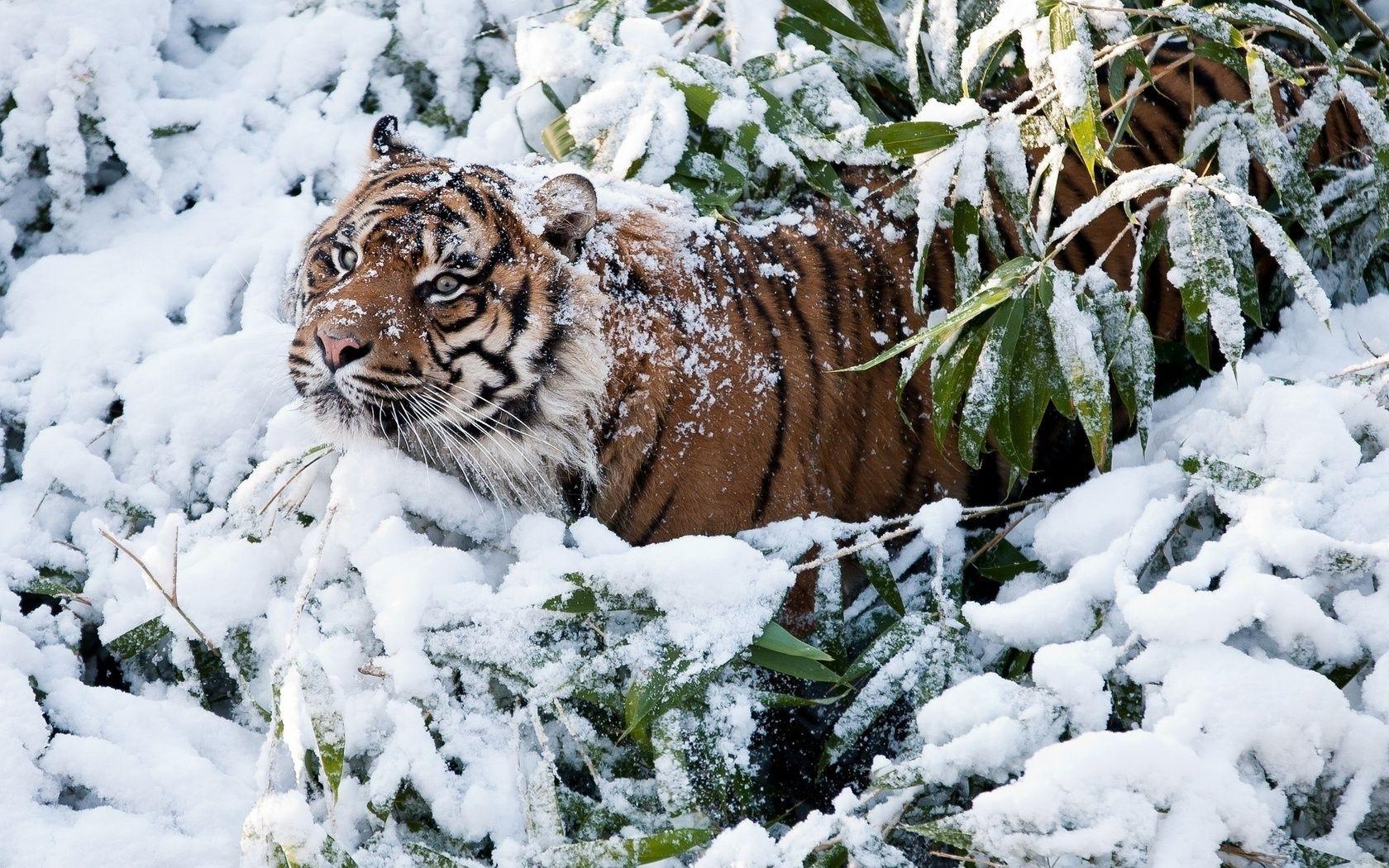белый тигр на снегу  № 988883  скачать