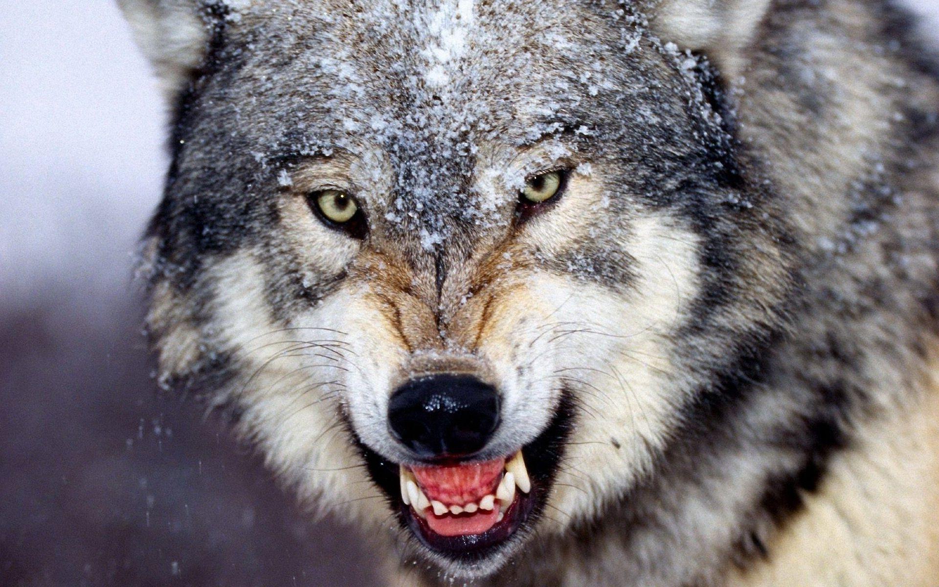 Обои на рабочий стол волк оскал