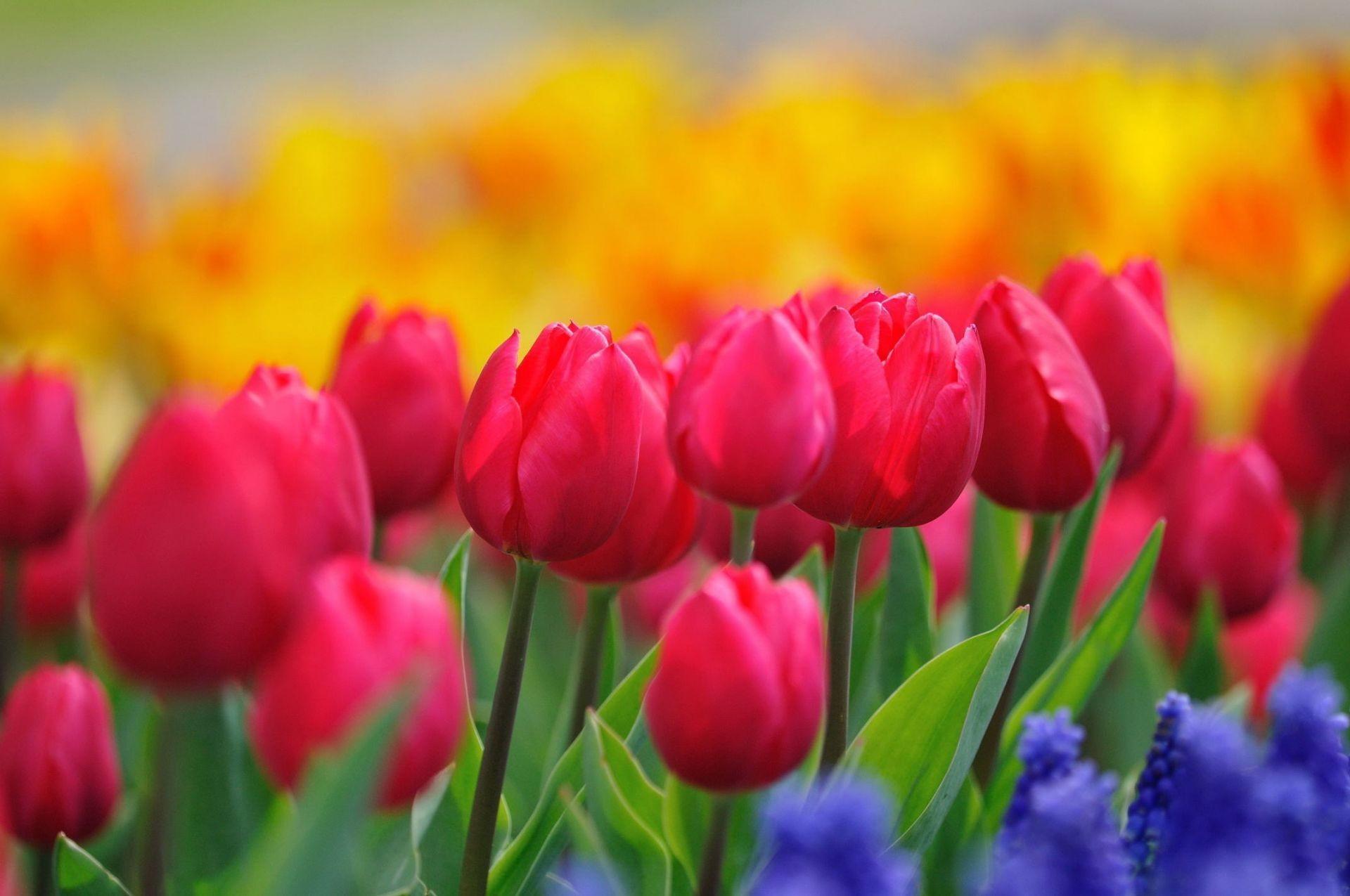 Красивые обои на рабочий стол тюльпаны широкоформатные