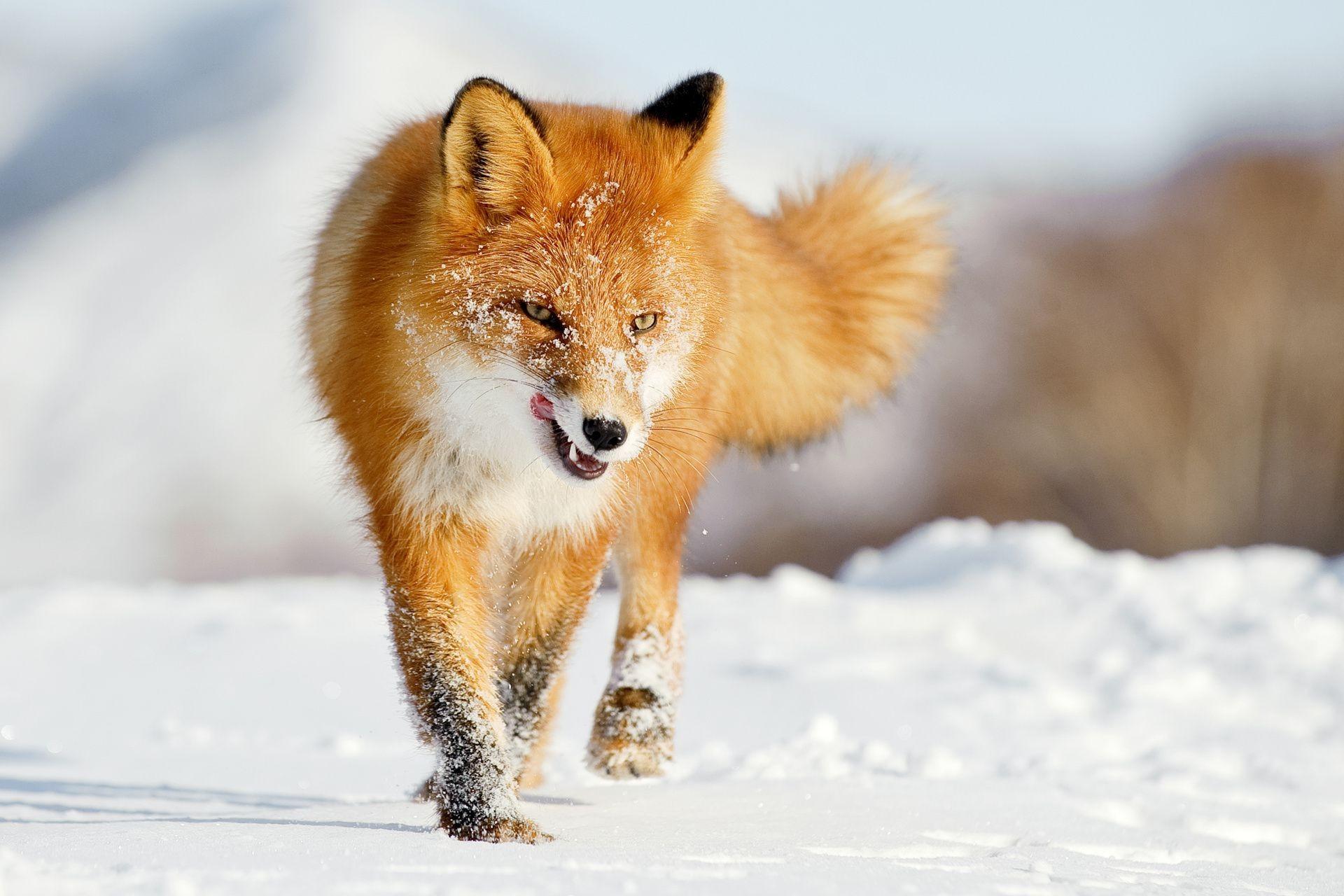 Лиса лисичка зима снег охота vipdelux