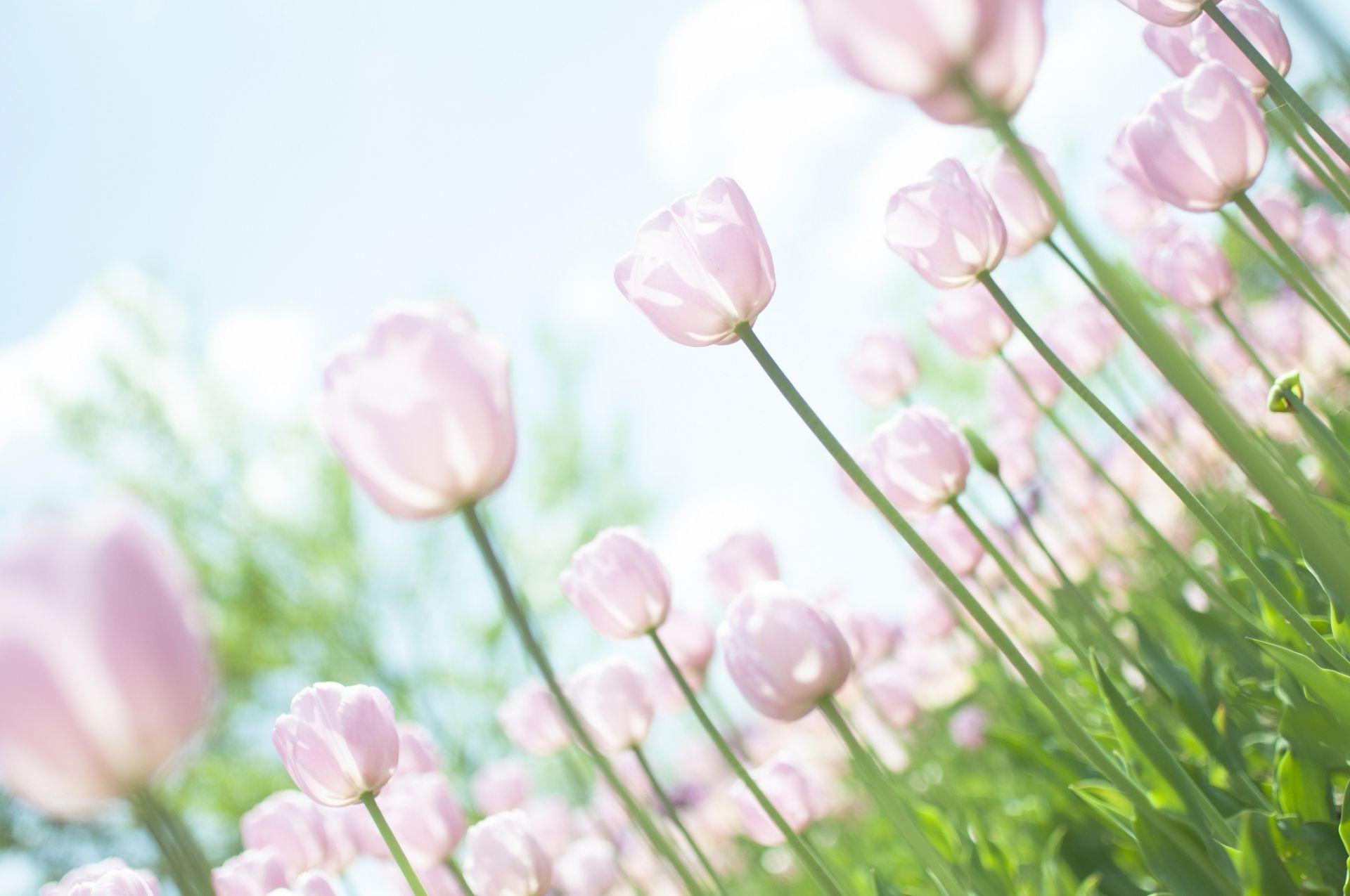 Обои тюльпан, цветы, луг. Абстракции foto 18