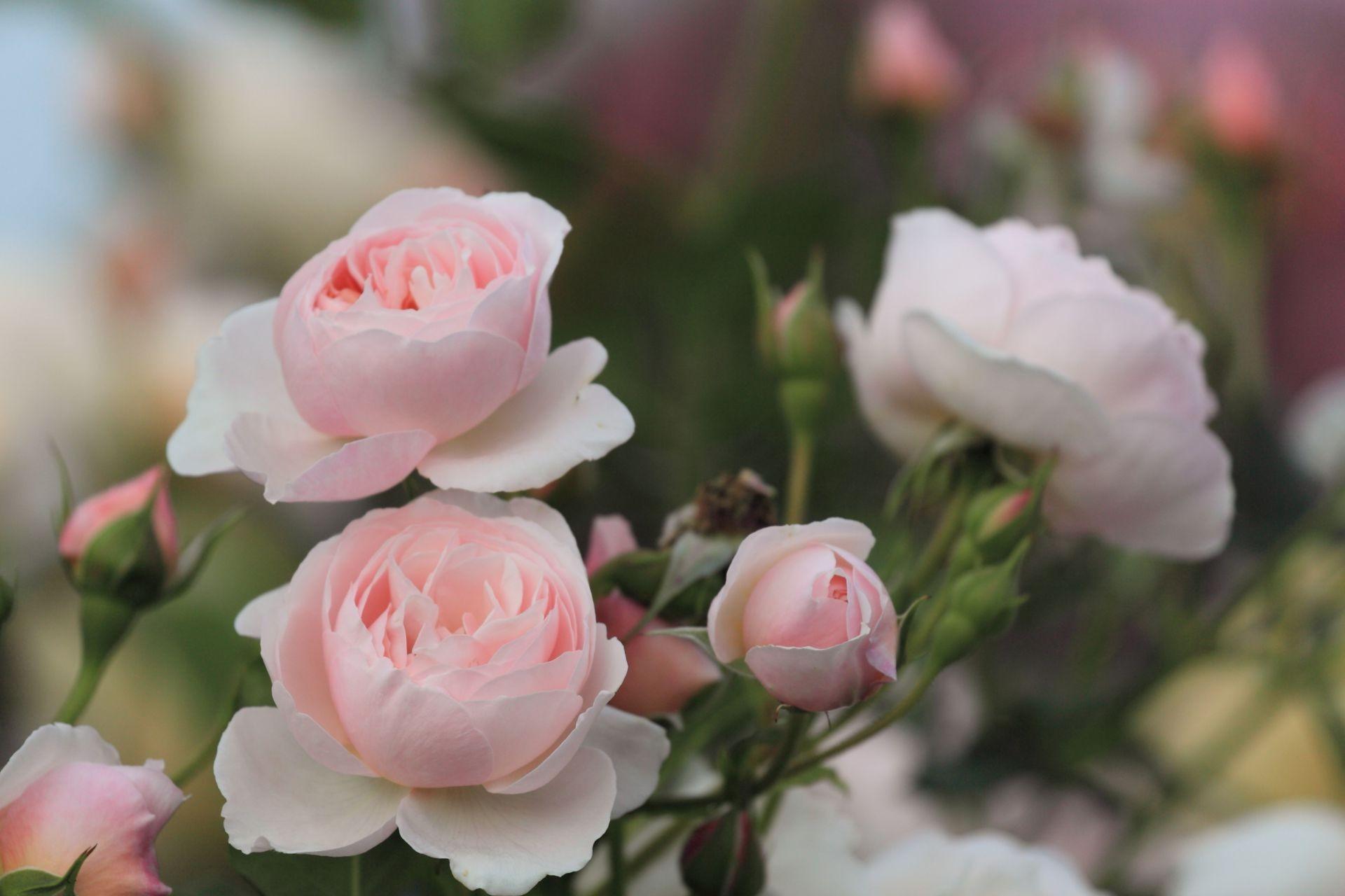 розовые цветы букет природа загрузить