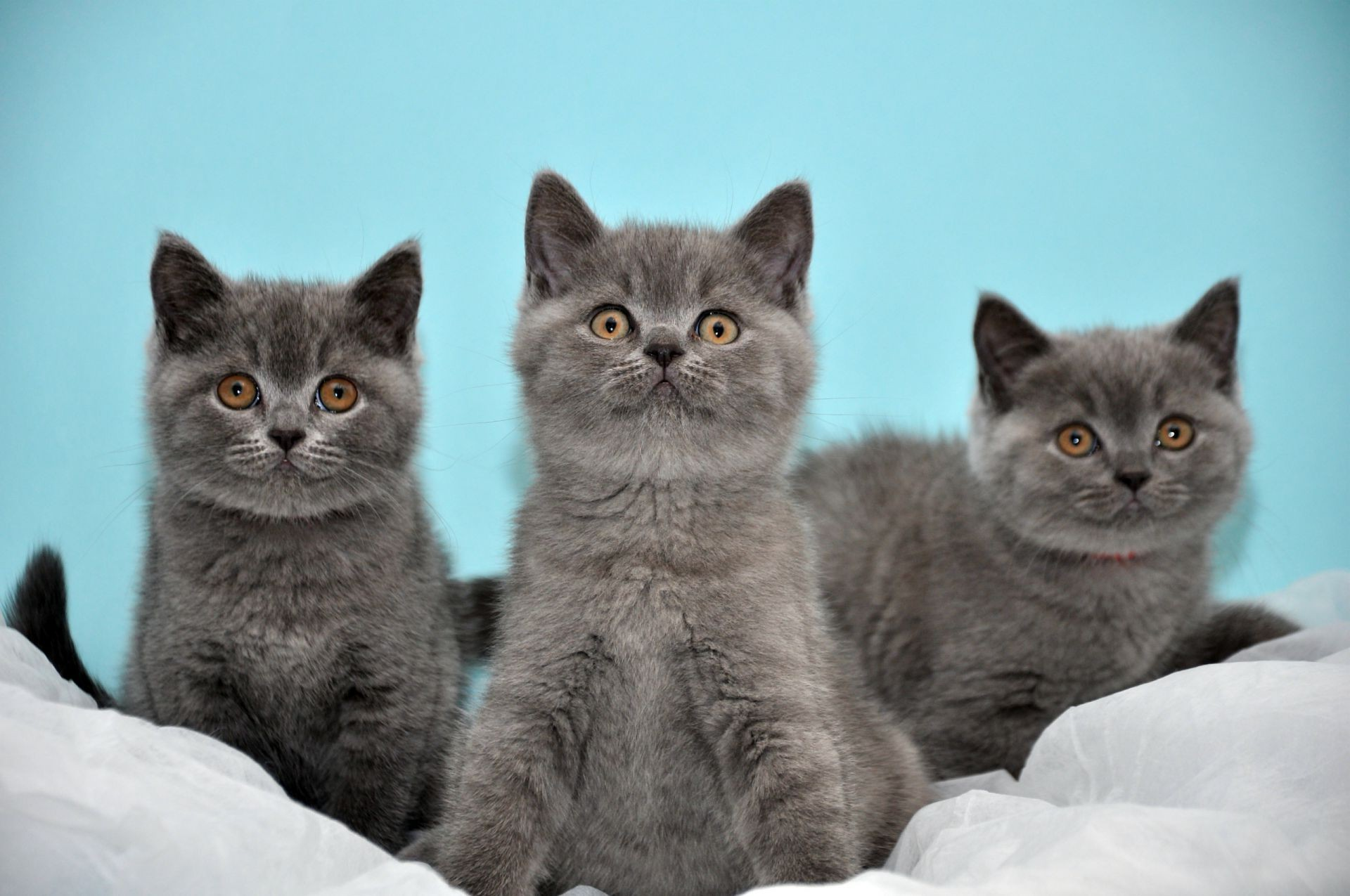 Картинки британские кошки и котята, анимации коньяком открытка