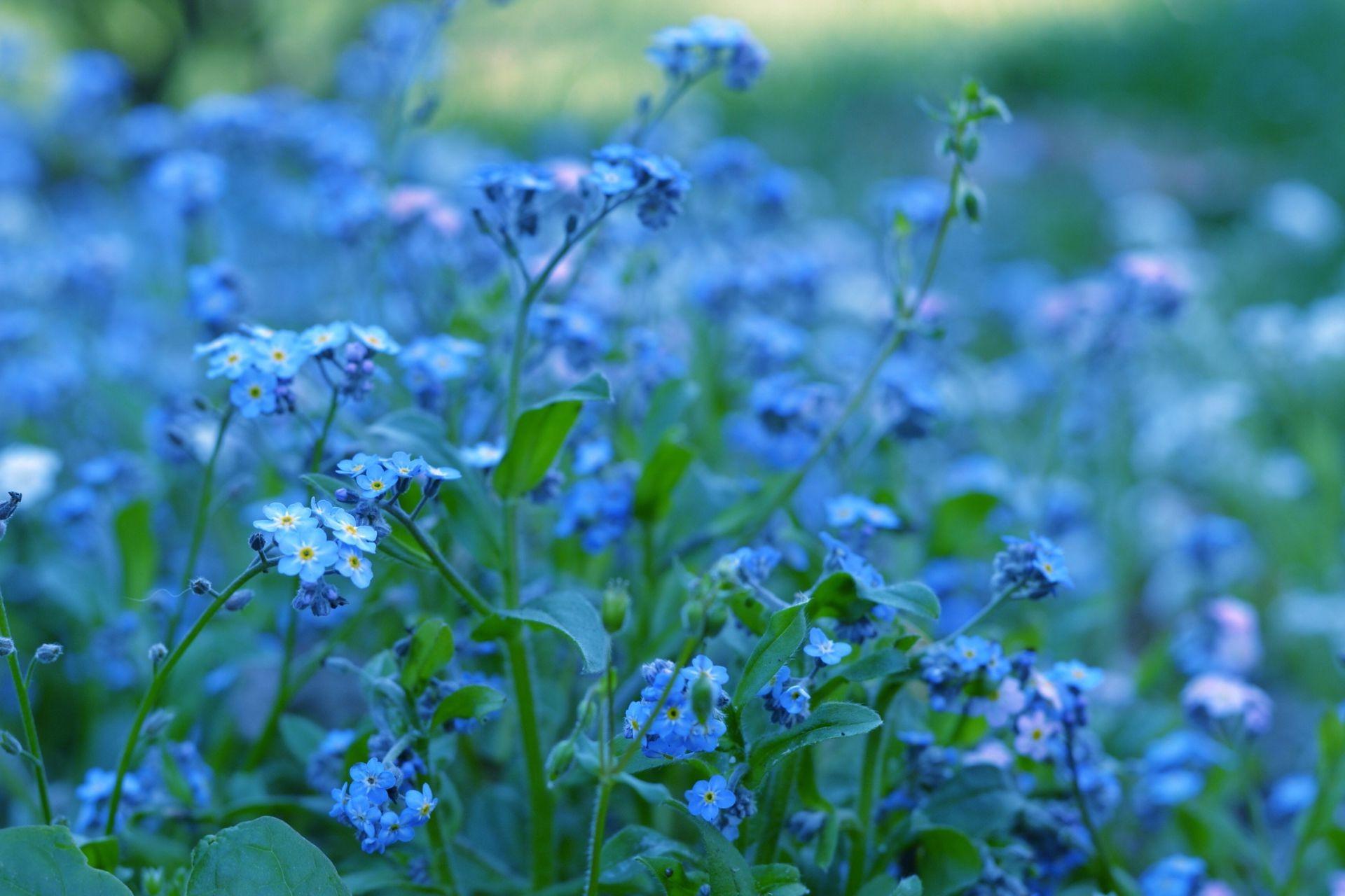 Цветы растения незабудки синие зелень
