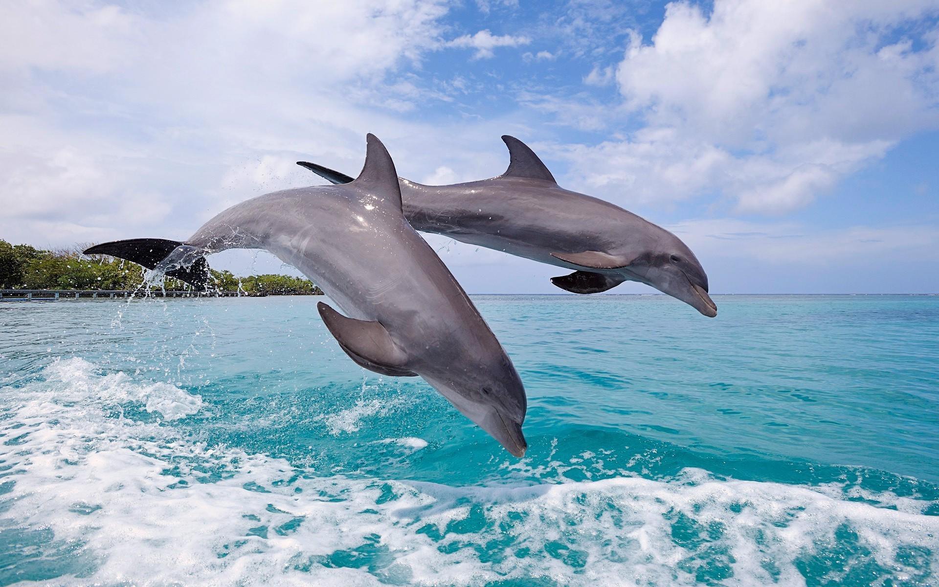 Обои на рабочий стол скачать бесплатно дельфин