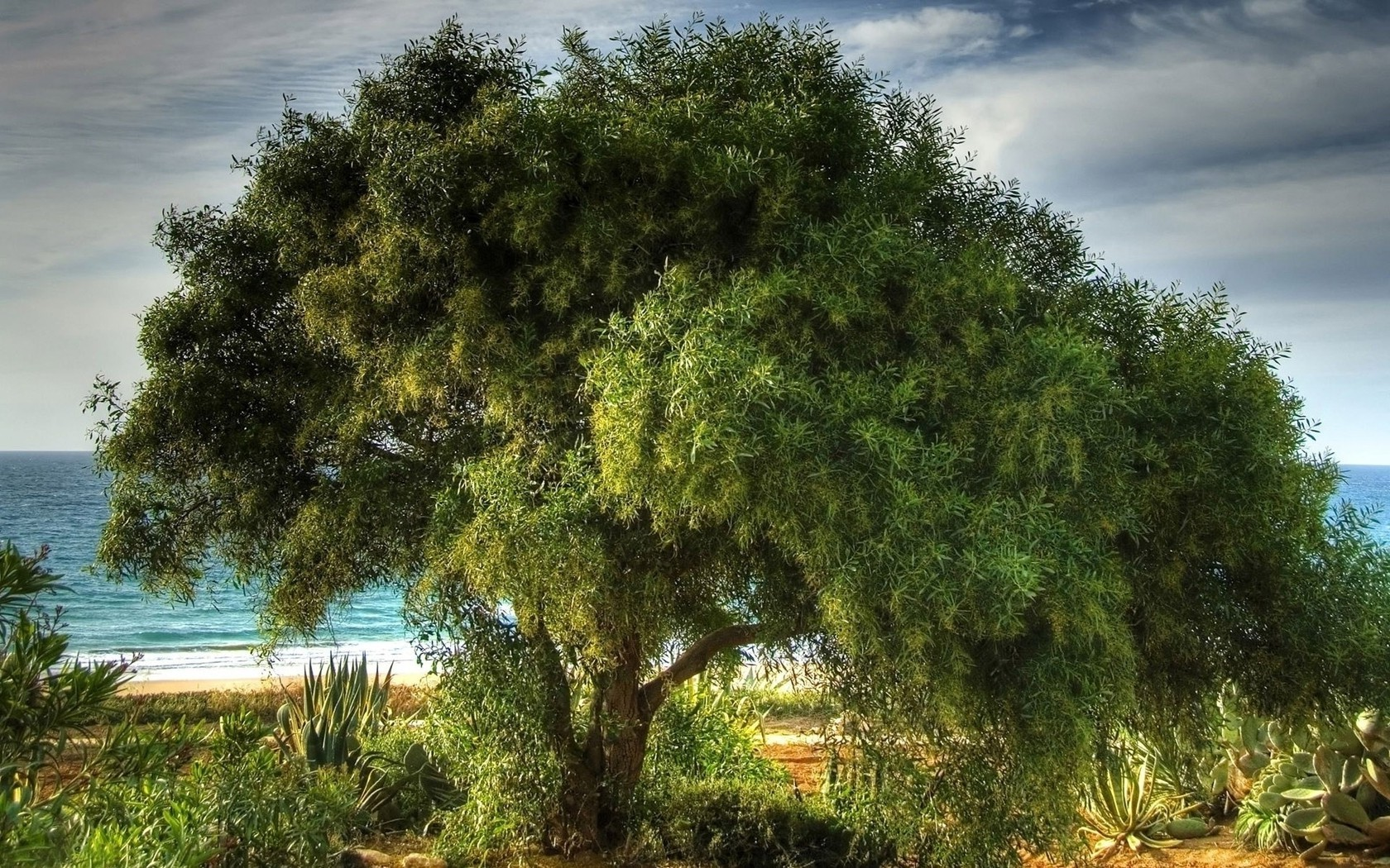 этого дерево олива фото для рабочего стола которой