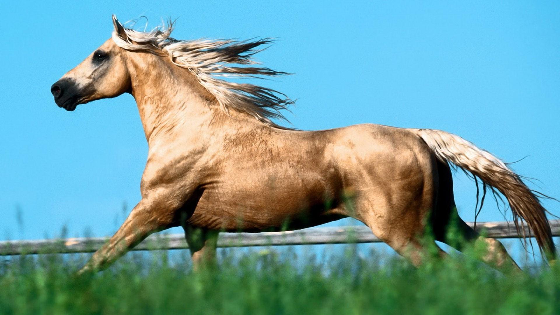 арабская лошадь обои на рабочий стол № 541962  скачать
