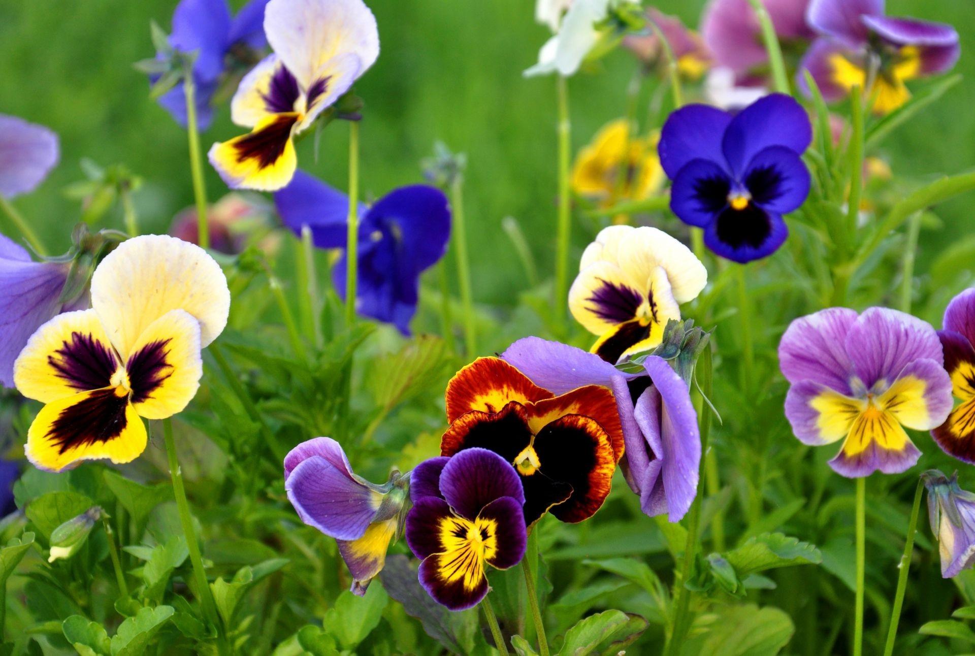 Обои цветы, анютины глазки. Цветы foto 8