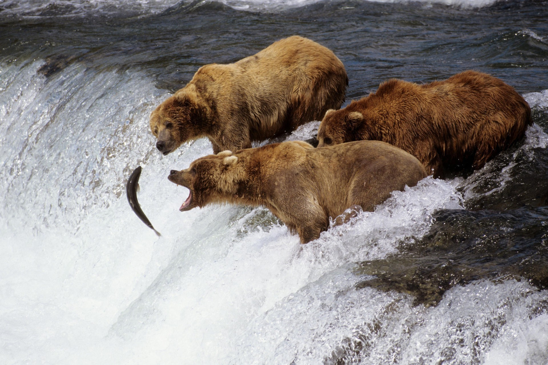 reintroduction of grizzly bears the symbols of the american wilderness Group wants state to study reintroducing grizzly bears 10:55 am a grizzly bear roams near beaver to conduct a feasibility study on grizzly reintroduction.