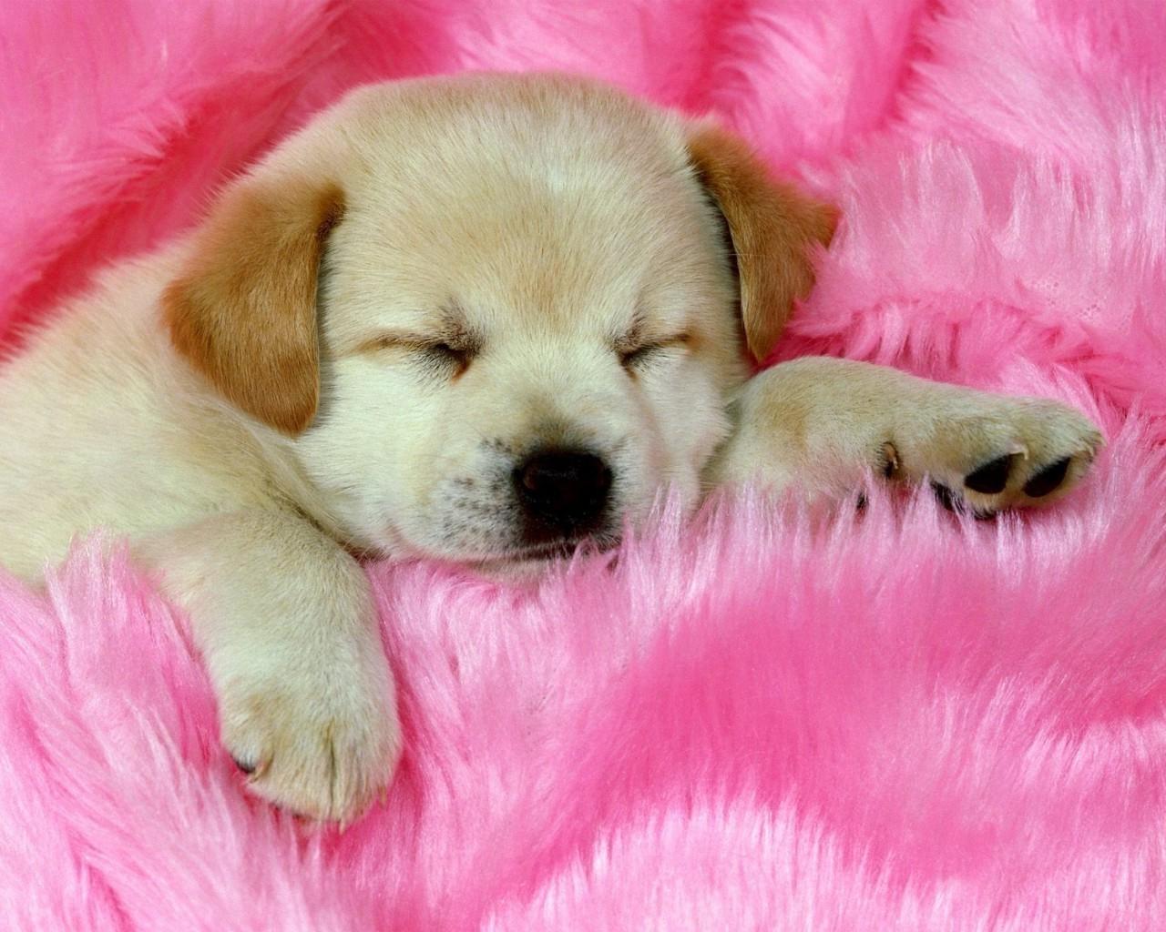 белые собаки щенки животные розовый фон  № 2918105  скачать