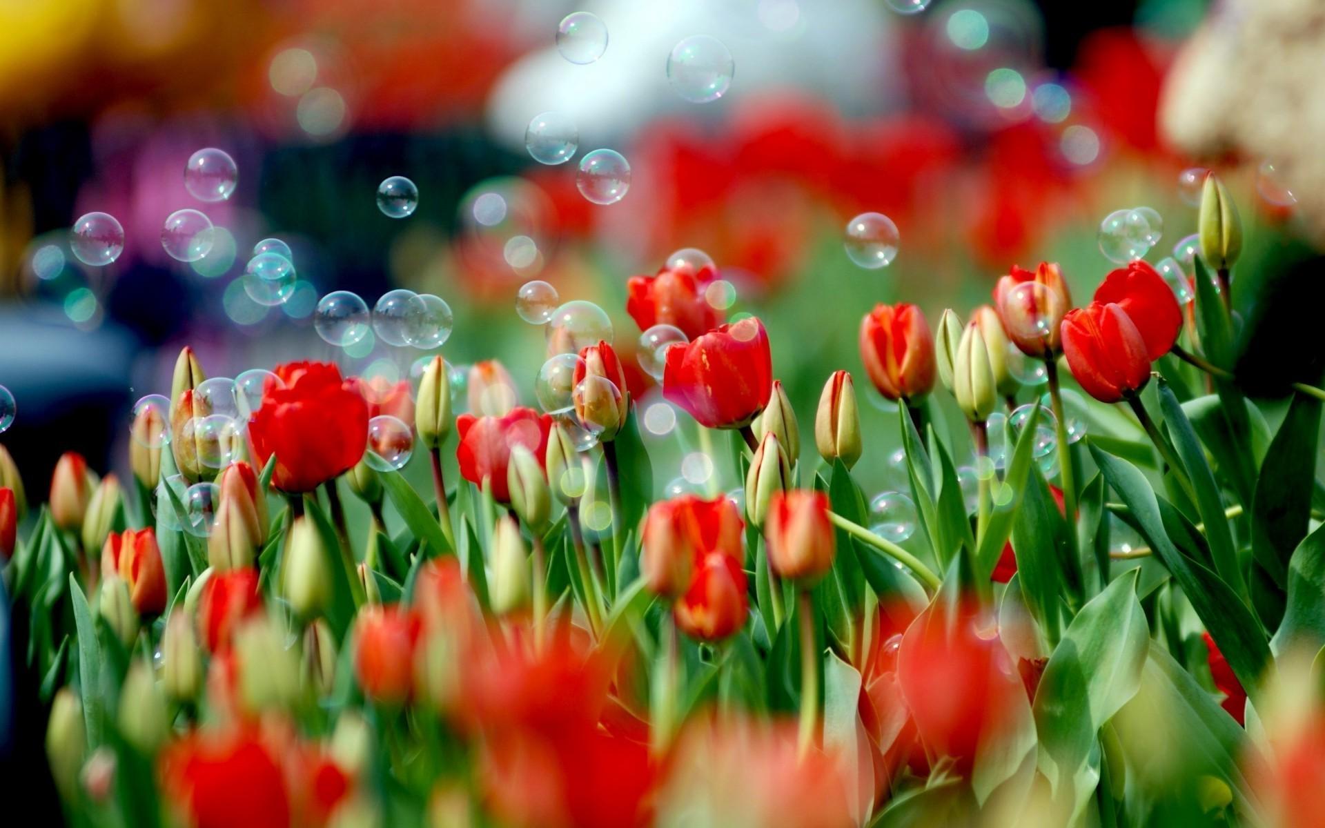 макро цветы красные природа тюльпаны  № 3286370  скачать