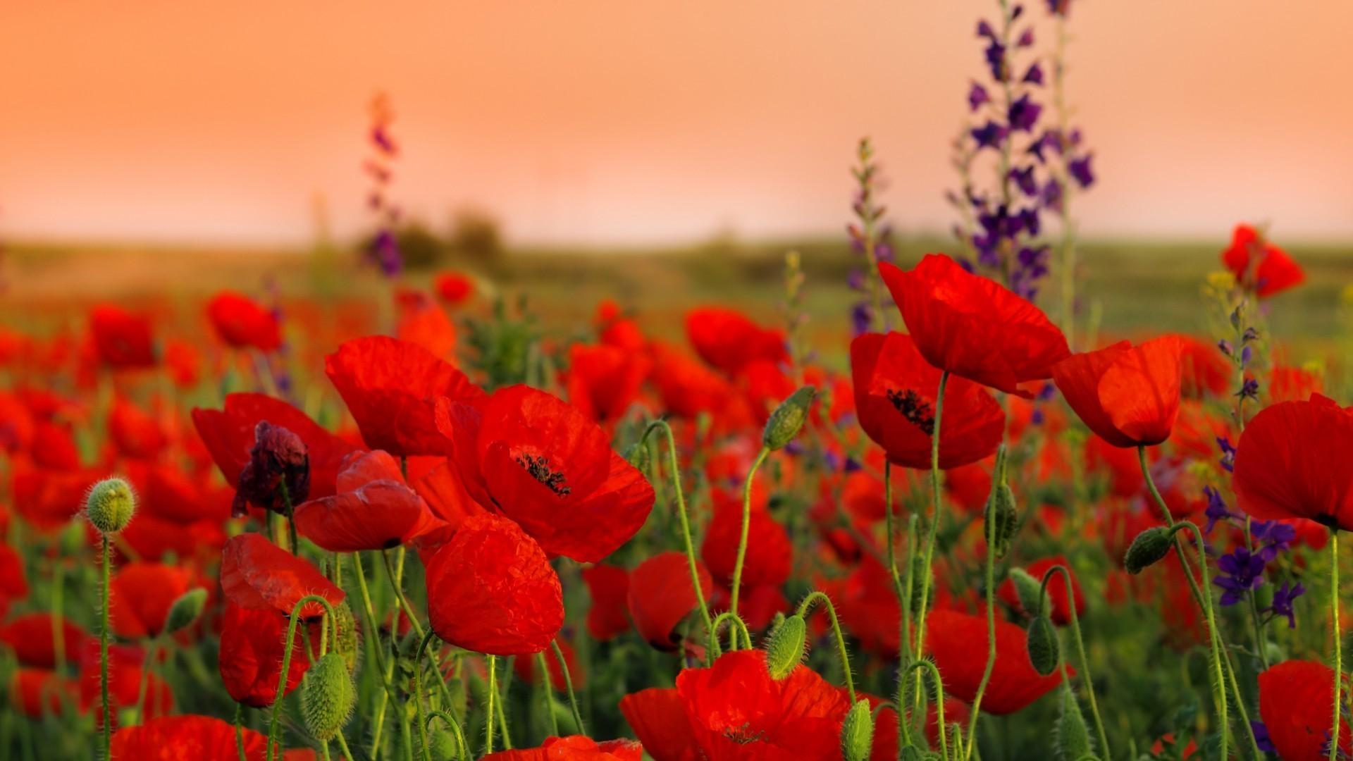 поле маки цветы  № 1877249 загрузить