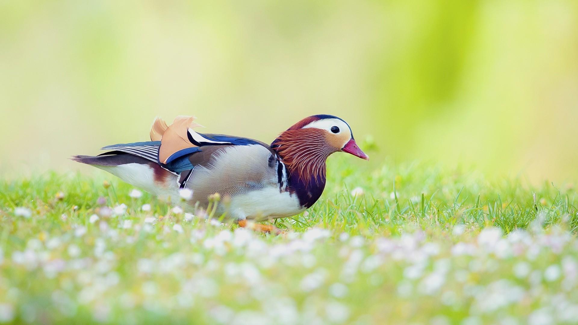 фото птиц на обои для рабочего стола третий украсить