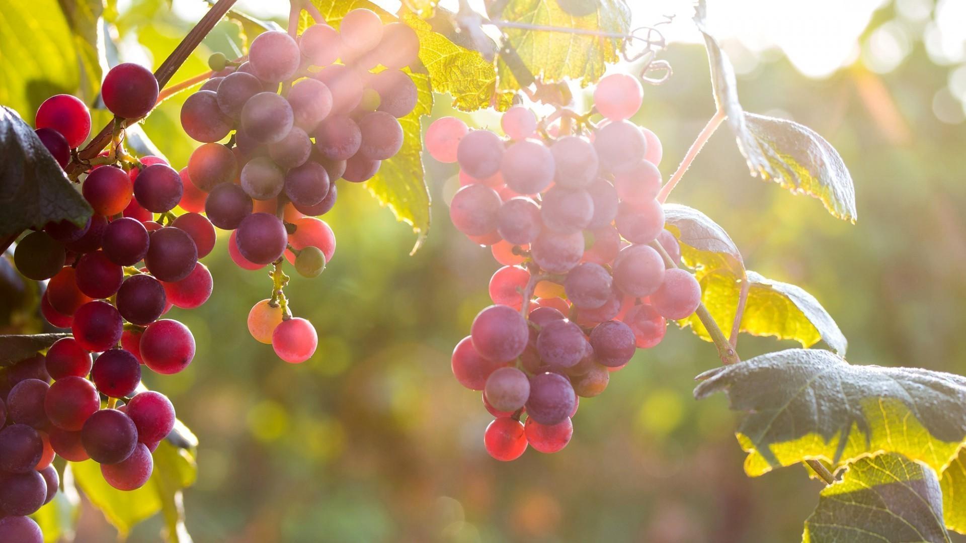 природа виноград еда без регистрации