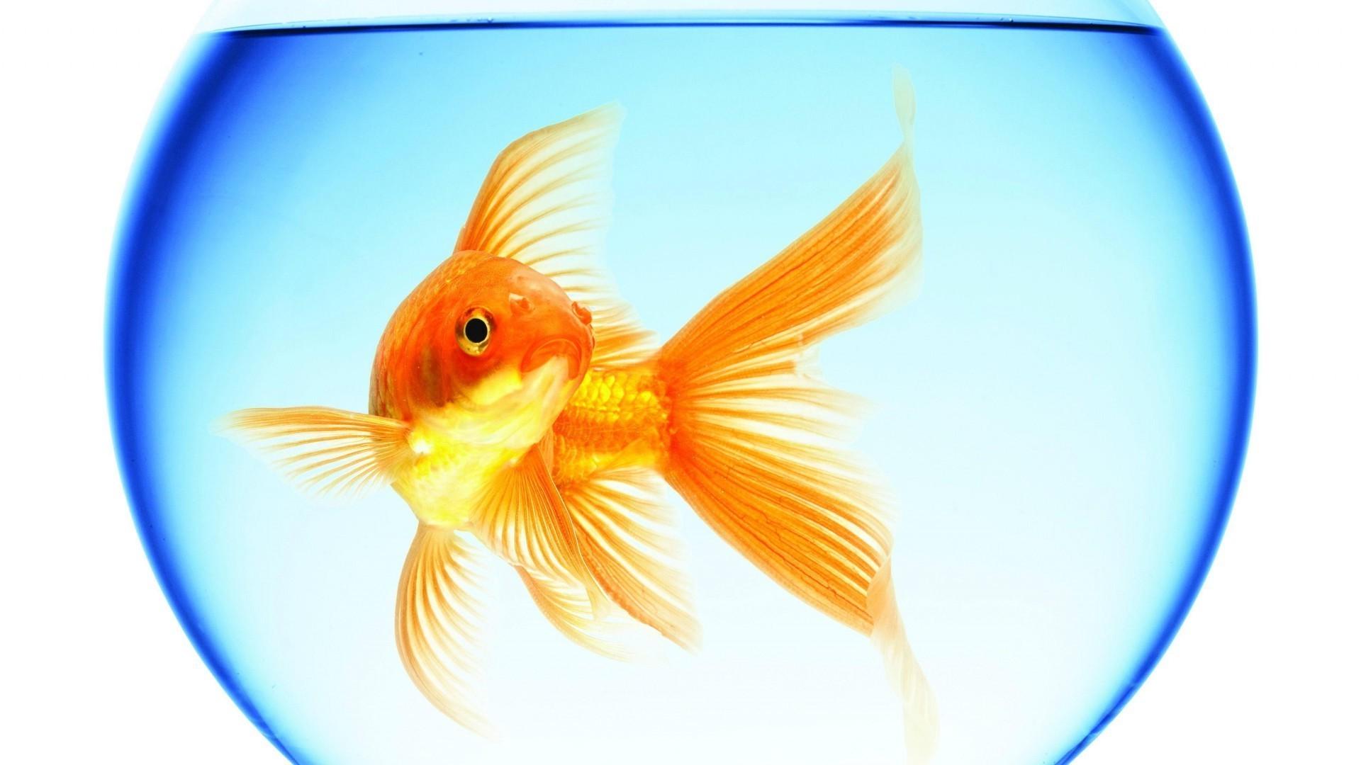 Обои Аквариум, рыбка. Животные foto 13