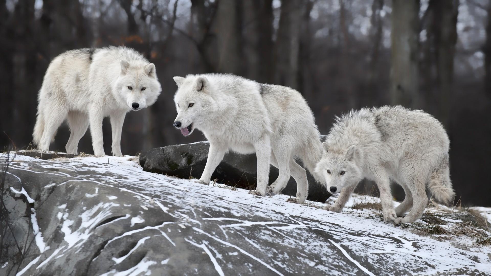листаю картинки стай волков для рабочего стола приготовлена