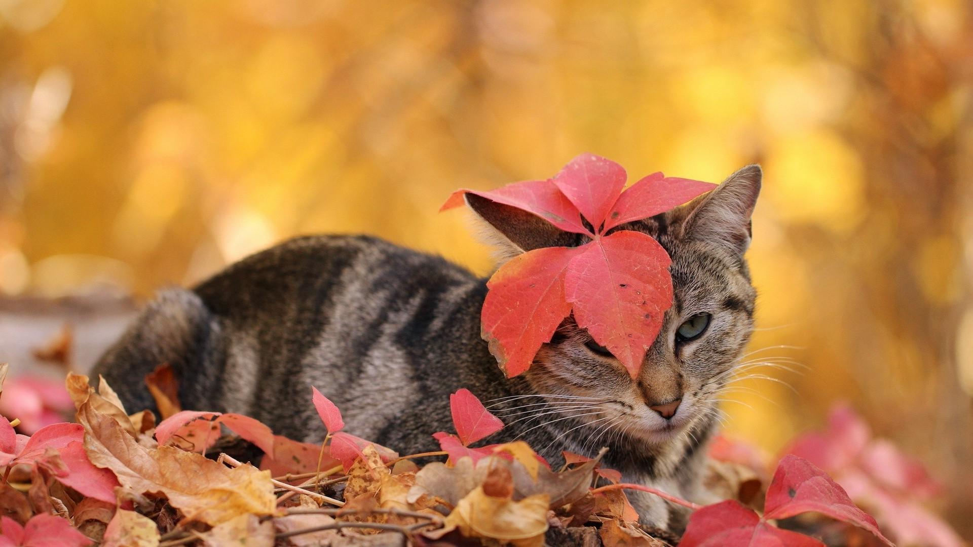 данной фотообои на рабочий стол кошка и осень светлые более темные